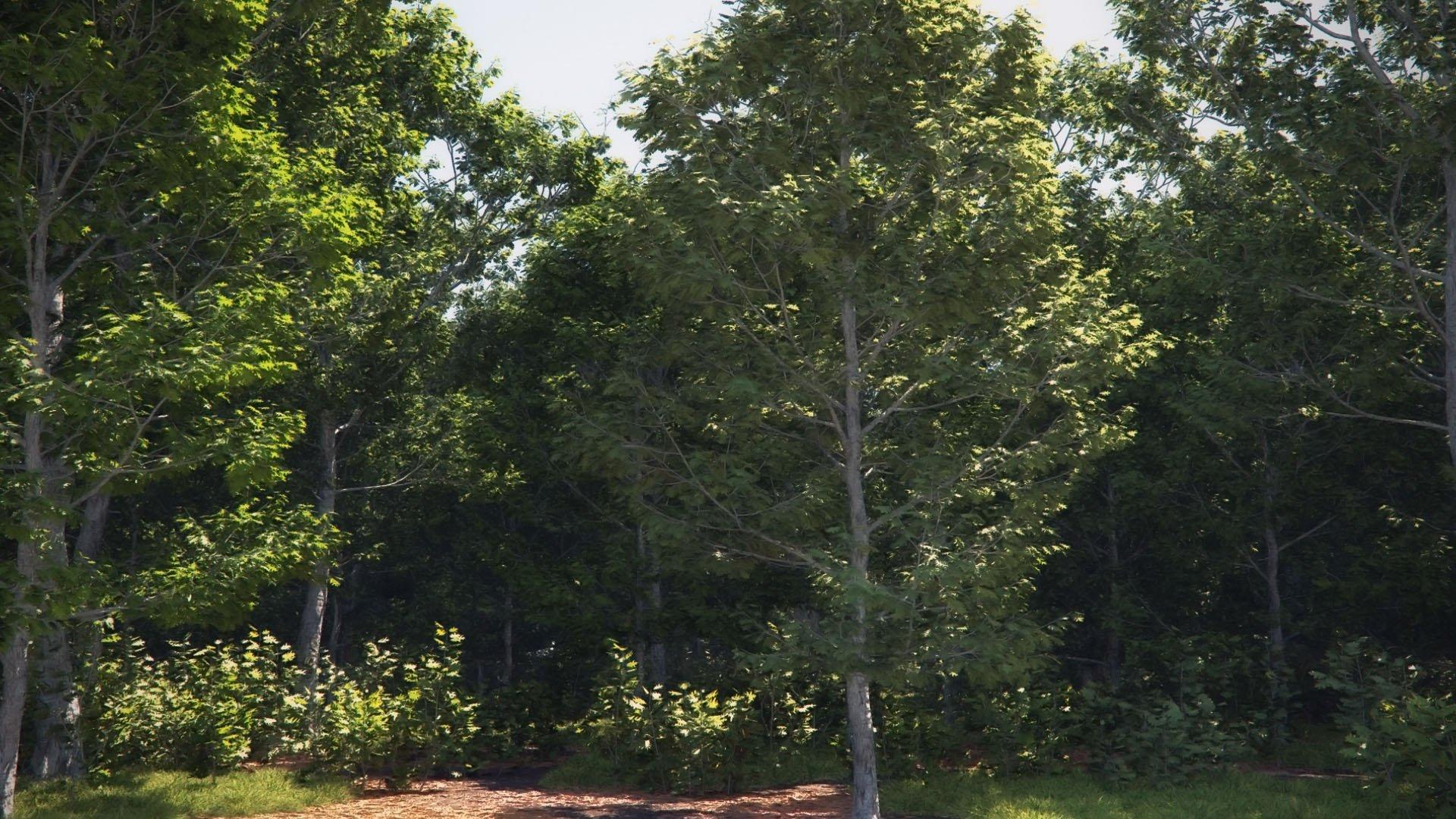 Northern red oak forest big