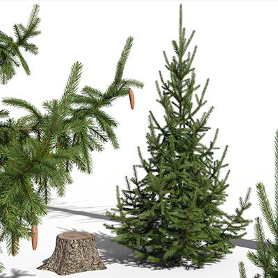 PlantCatalog_Q4_Picea_Abies_Norway_Spruce