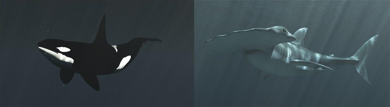 A killer whale and a hammerhead shark