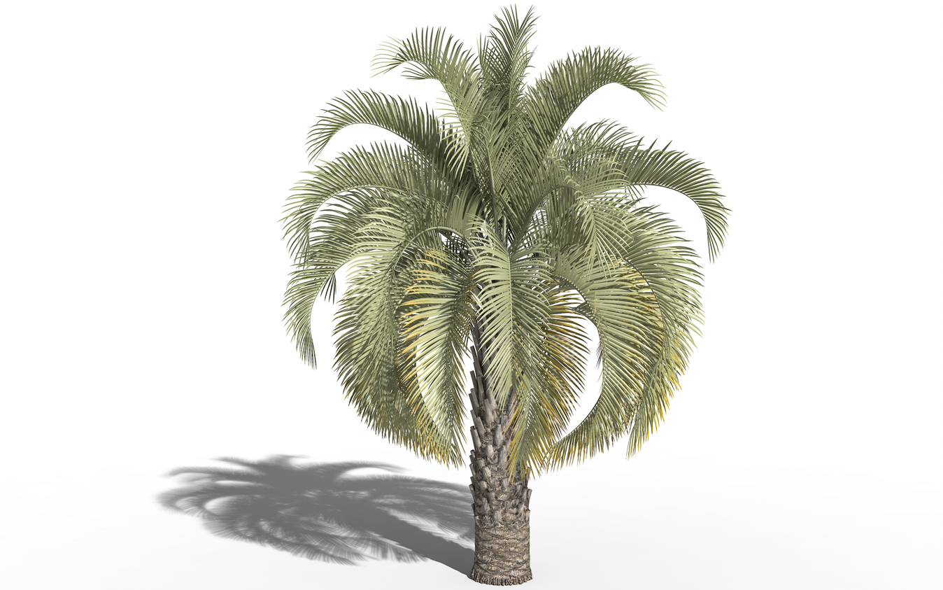 3D model of the Jelly palm - Butia capitata - from the PlantCatalog, rendered in VUE