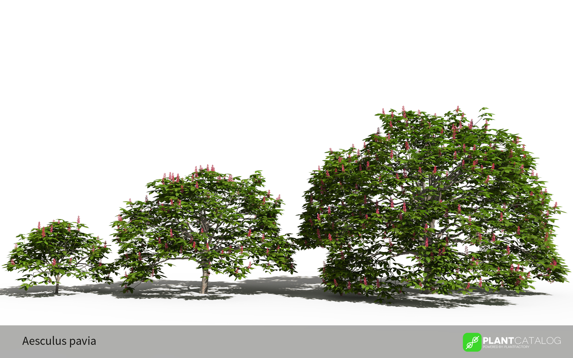 3D model of the Dwarf red horse chestnut - Aesculus pavia - from the PlantCatalog, rendered in VUE