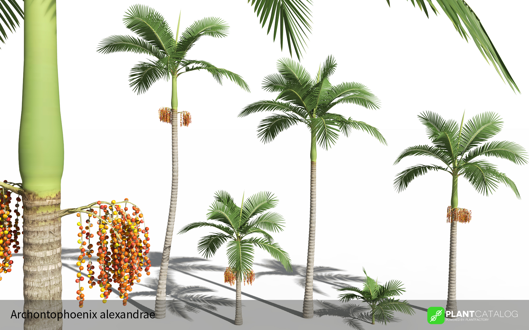 3D model of the Alexander palm - Archontophoenix alexandrae - from the PlantCatalog, rendered in VUE