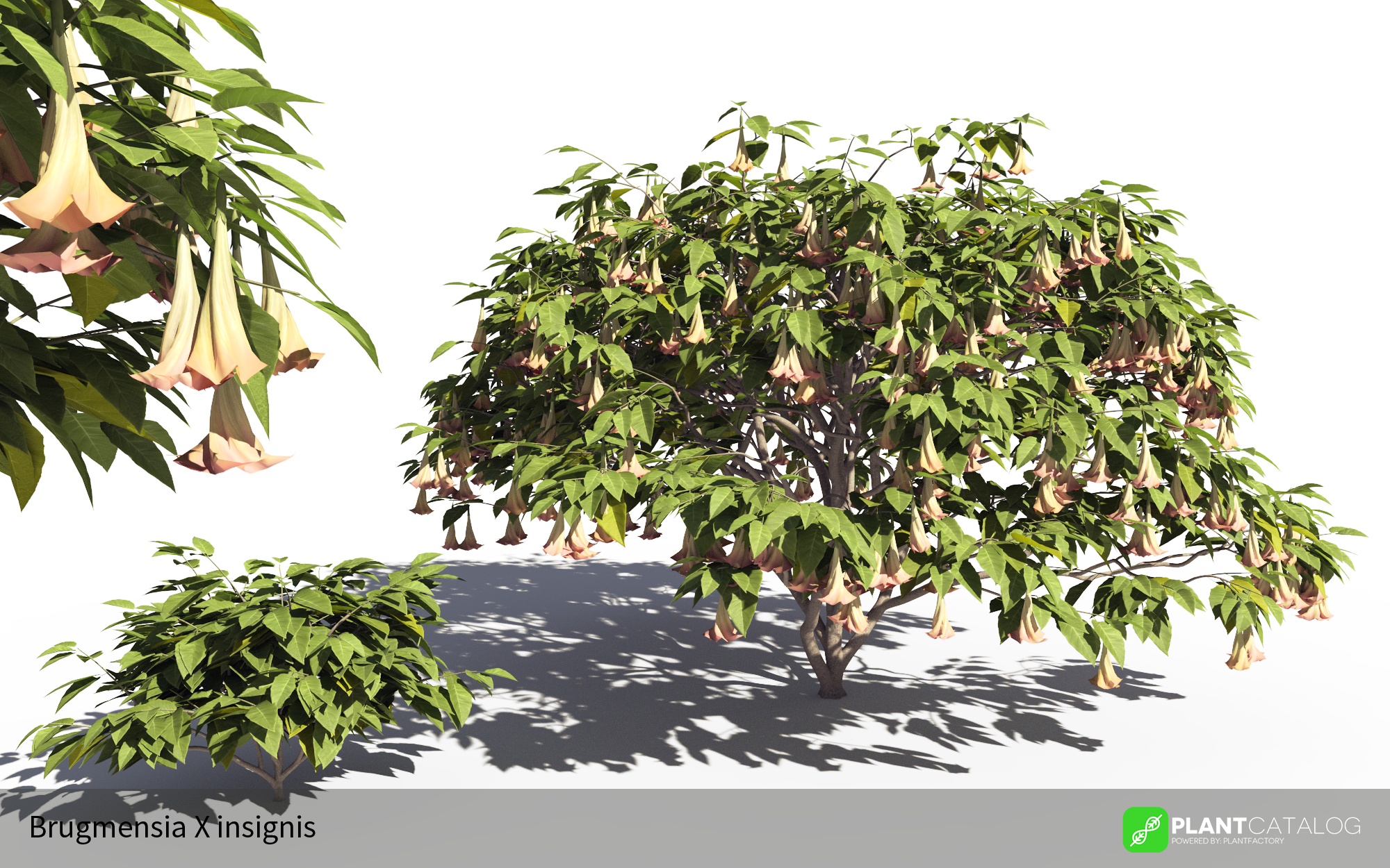 3D model of the Magnificent angel's trumpet  - Brugmansia X insignis - from the PlantCatalog, rendered in VUE