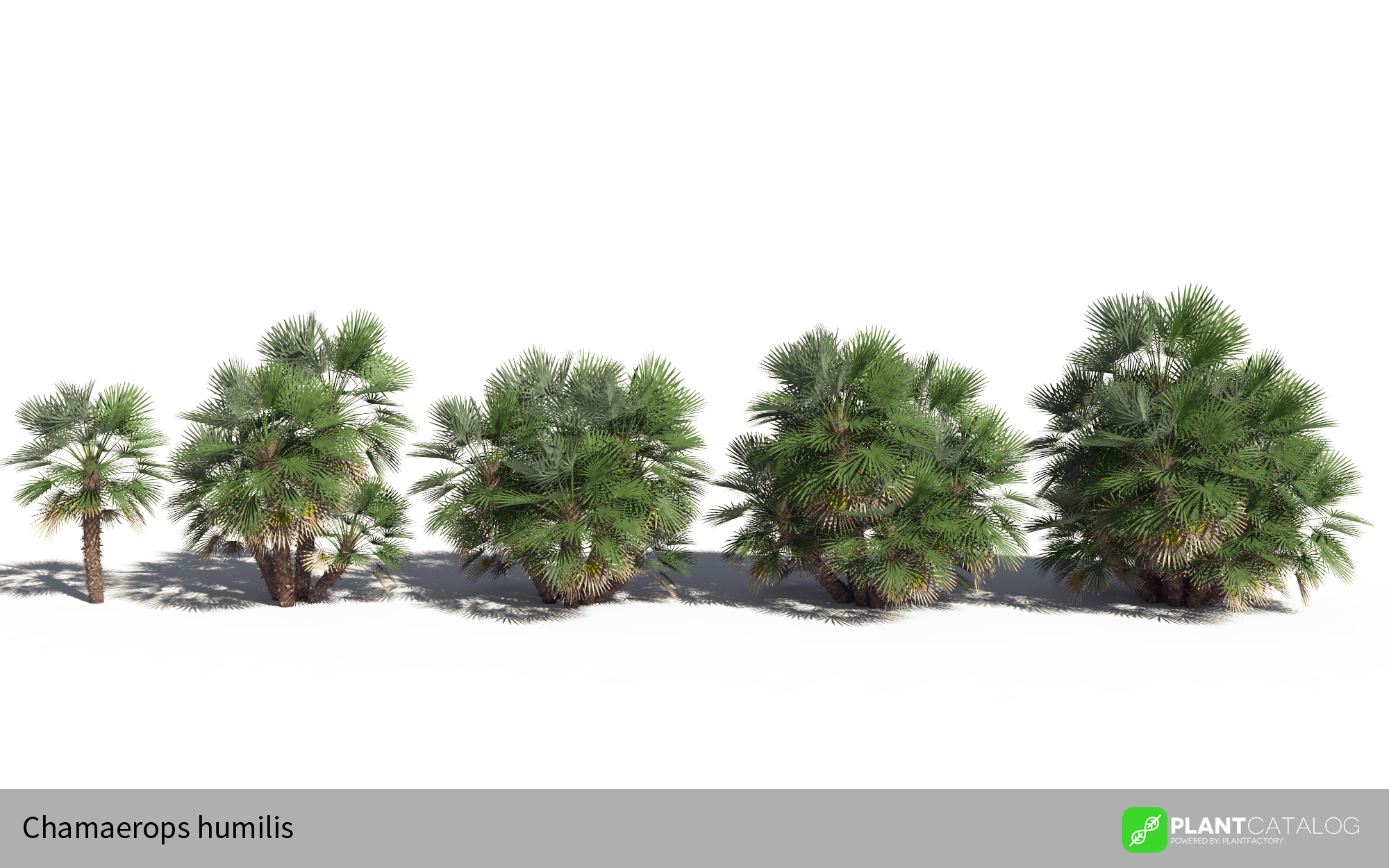 3D model of the Mediterranean fan palm - Chamaerops humilis - from the PlantCatalog, rendered in VUE
