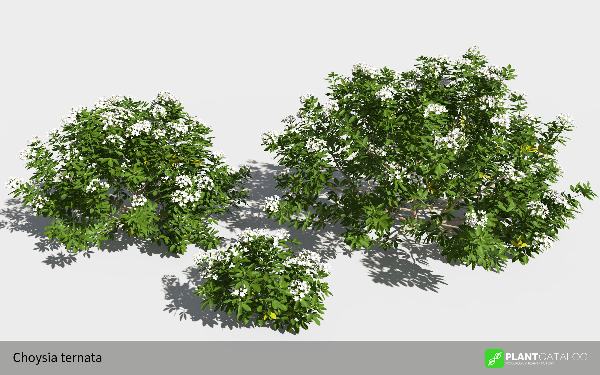 3D model of the Mexican orange blossom - Choisya ternata - from the PlantCatalog, rendered in VUE