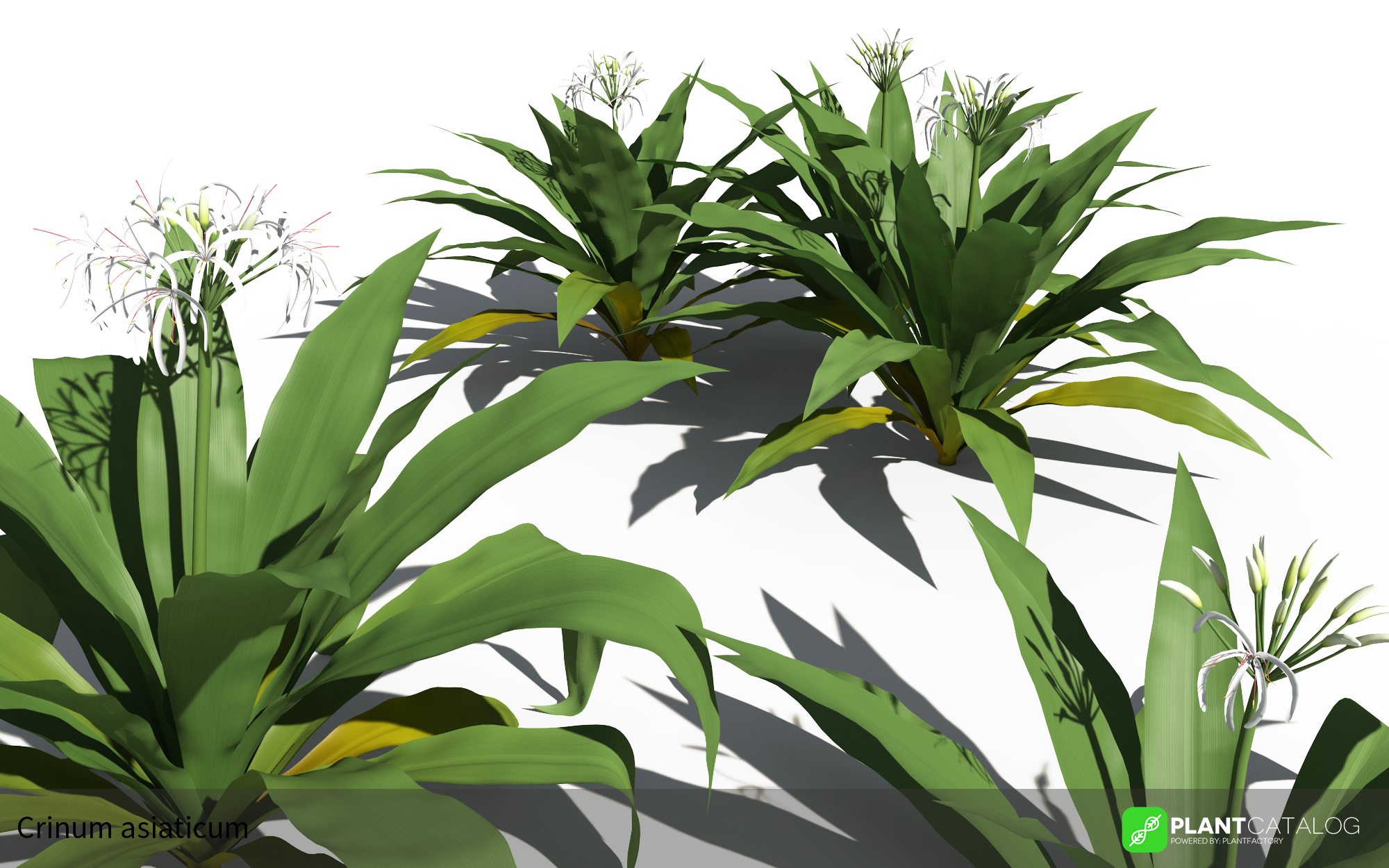 3D model of the Spider lily - Crinum asiaticum - from the PlantCatalog, rendered in VUE