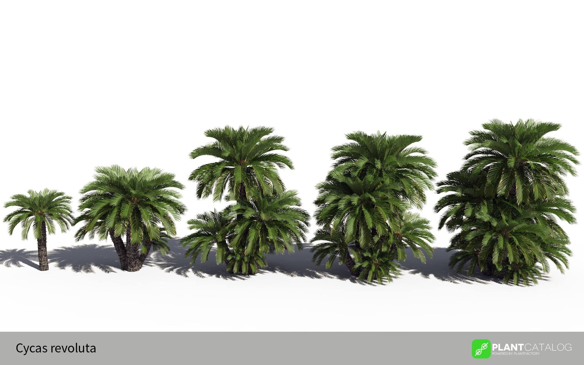 3D model of the Japanese sago palm - Cycas revoluta - from the PlantCatalog, rendered in VUE