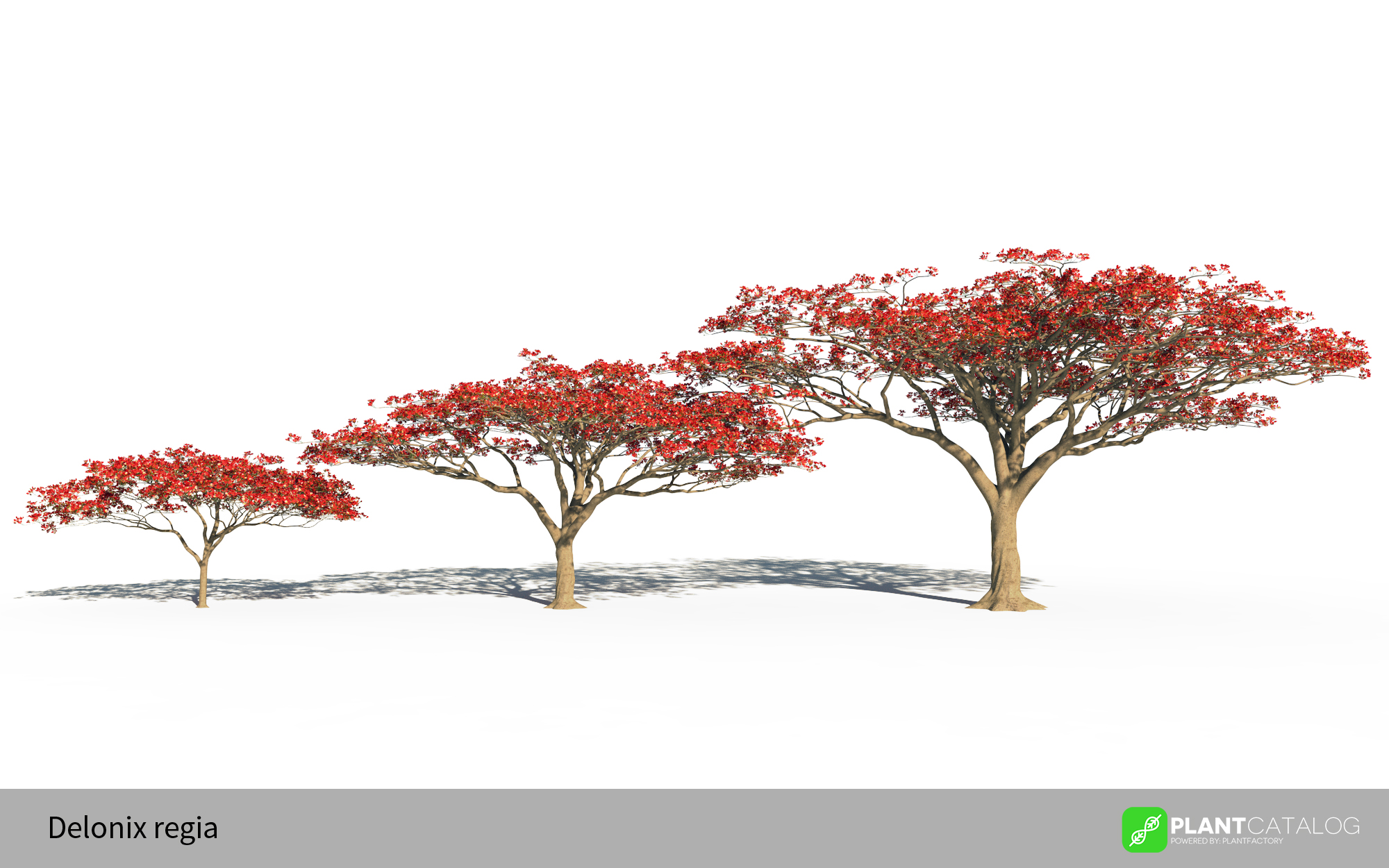 3D model of the Royal poinciana  - Delonix regia - from the PlantCatalog, rendered in VUE