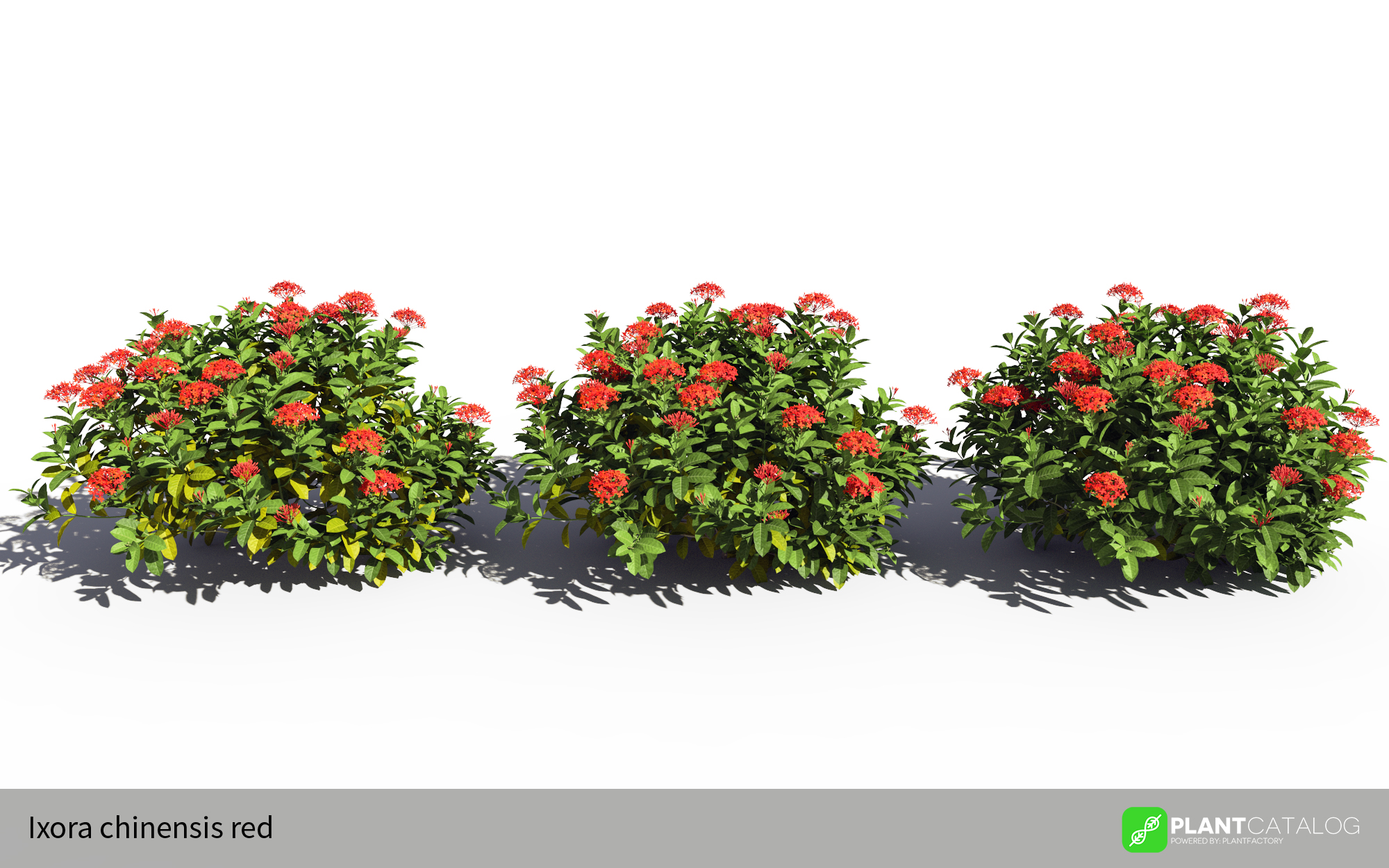 3D model of the Chinese jungle geranium - Ixora chinensis red - from the PlantCatalog, rendered in VUE