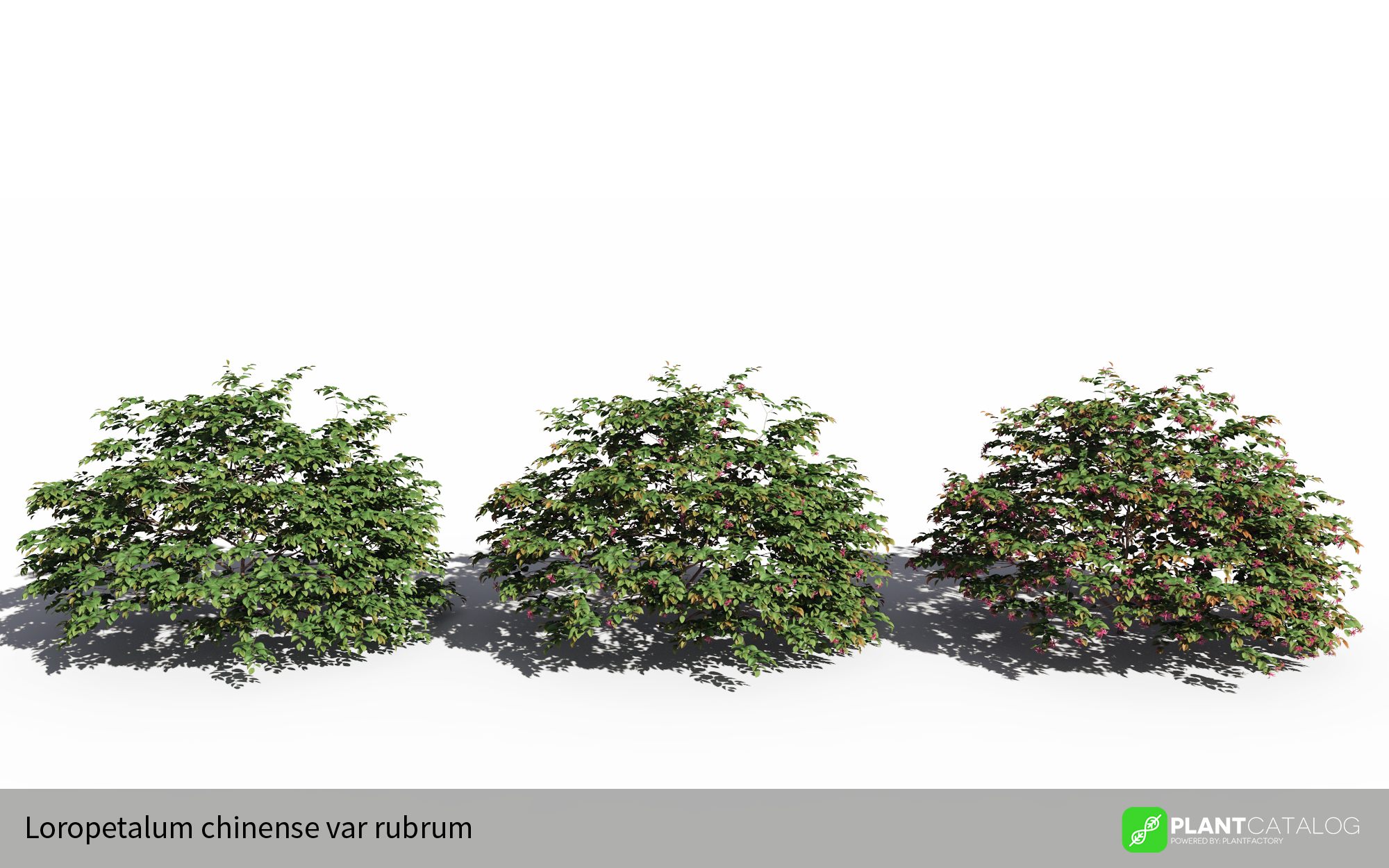 3D model of the Chinese fringe flower - Loropetalum chinense var rubrum - from the PlantCatalog, rendered in VUE