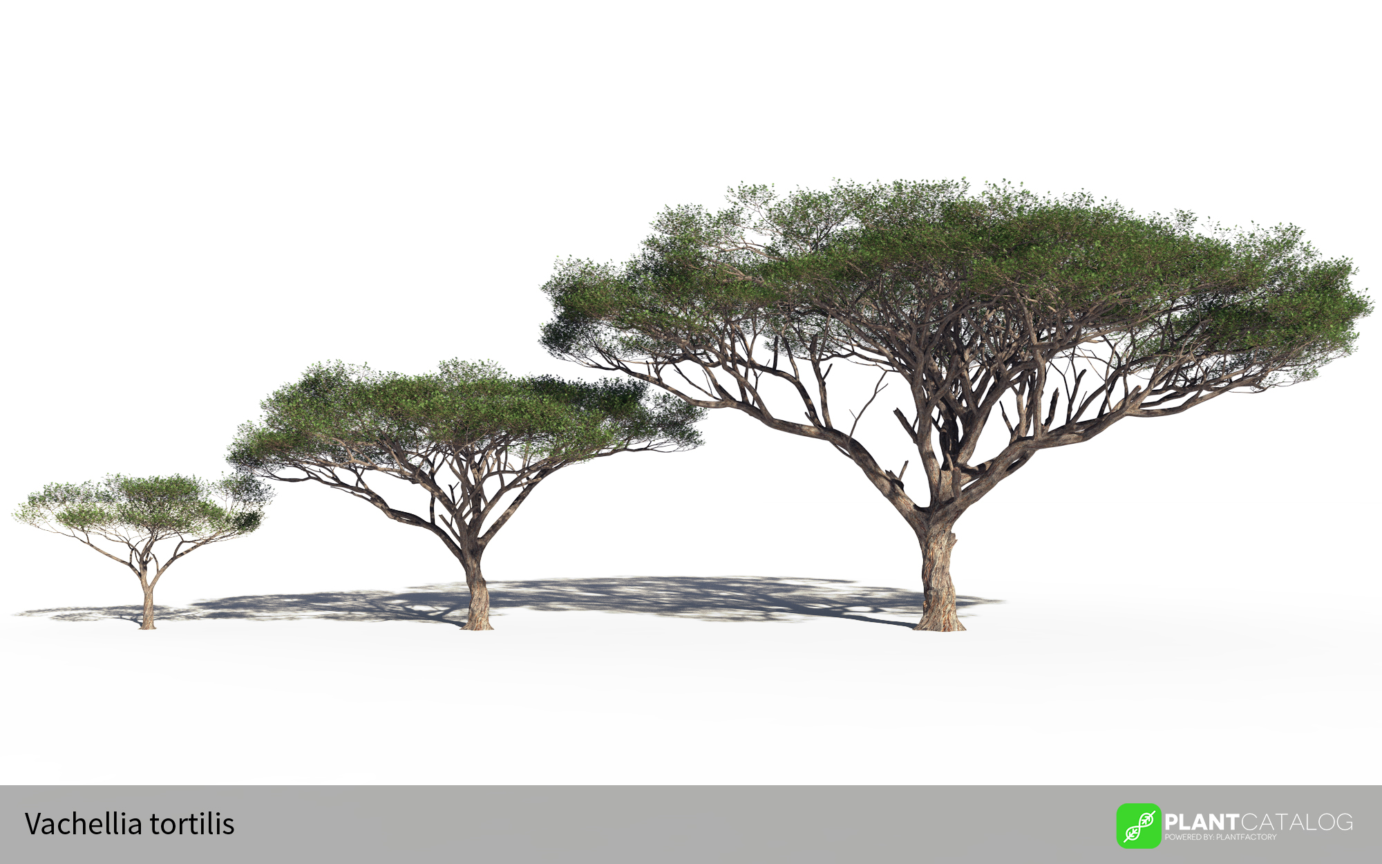 3D model of the Umbrella acacia - Vachellia tortilis - from the PlantCatalog, rendered in VUE