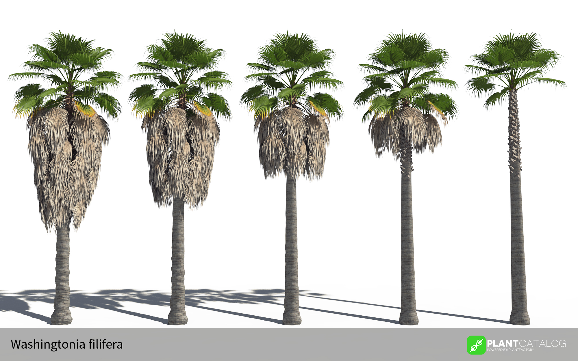 3D model of the California fan palm - Washingtonia filifera - from the PlantCatalog, rendered in VUE