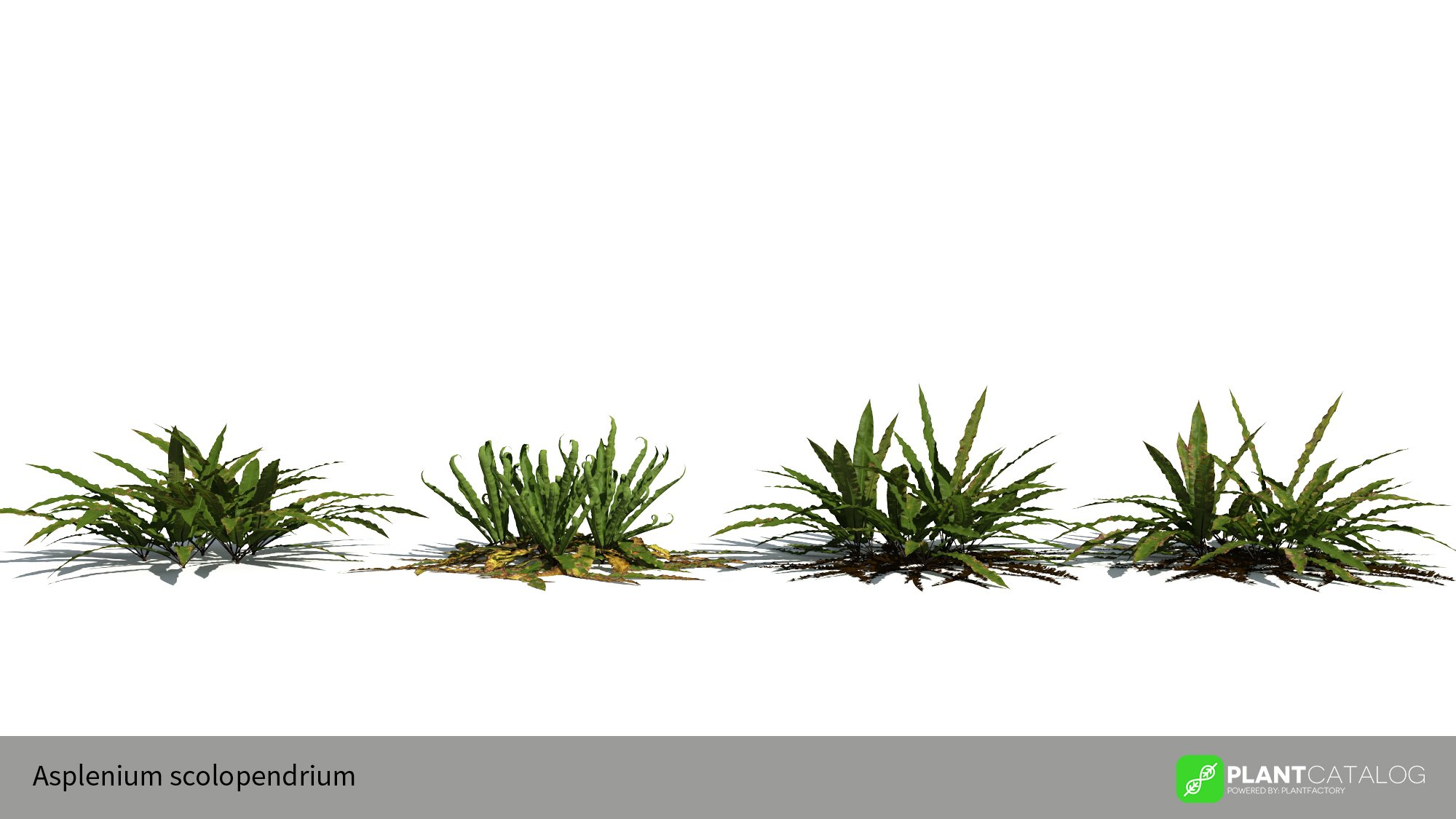 3D model of the Hart's tongue fern - Asplenium scolopendrium - from the PlantCatalog, rendered in VUE