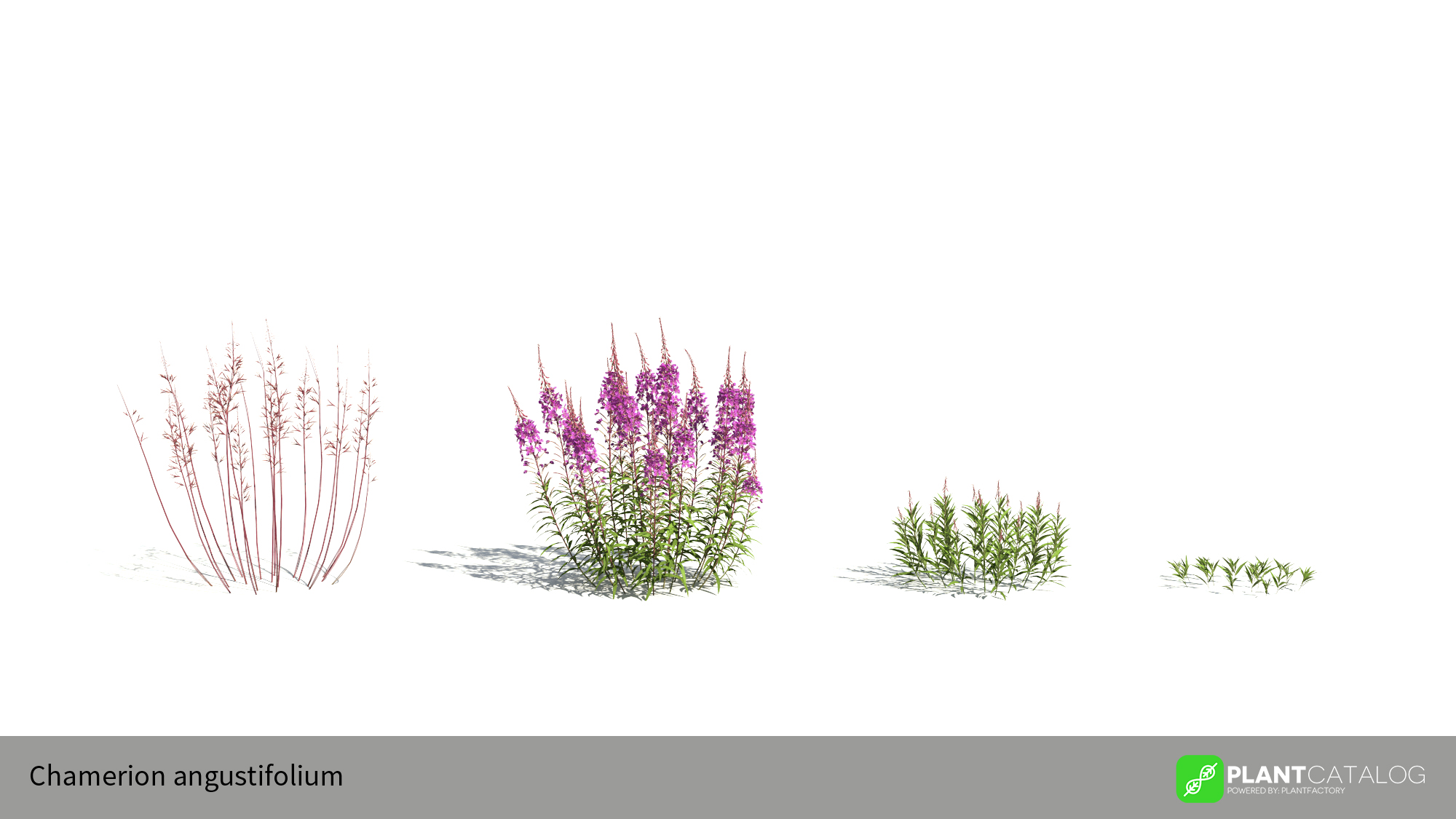 3D model of the Fireweed - Chamerion angustifolium - from the PlantCatalog, rendered in VUE