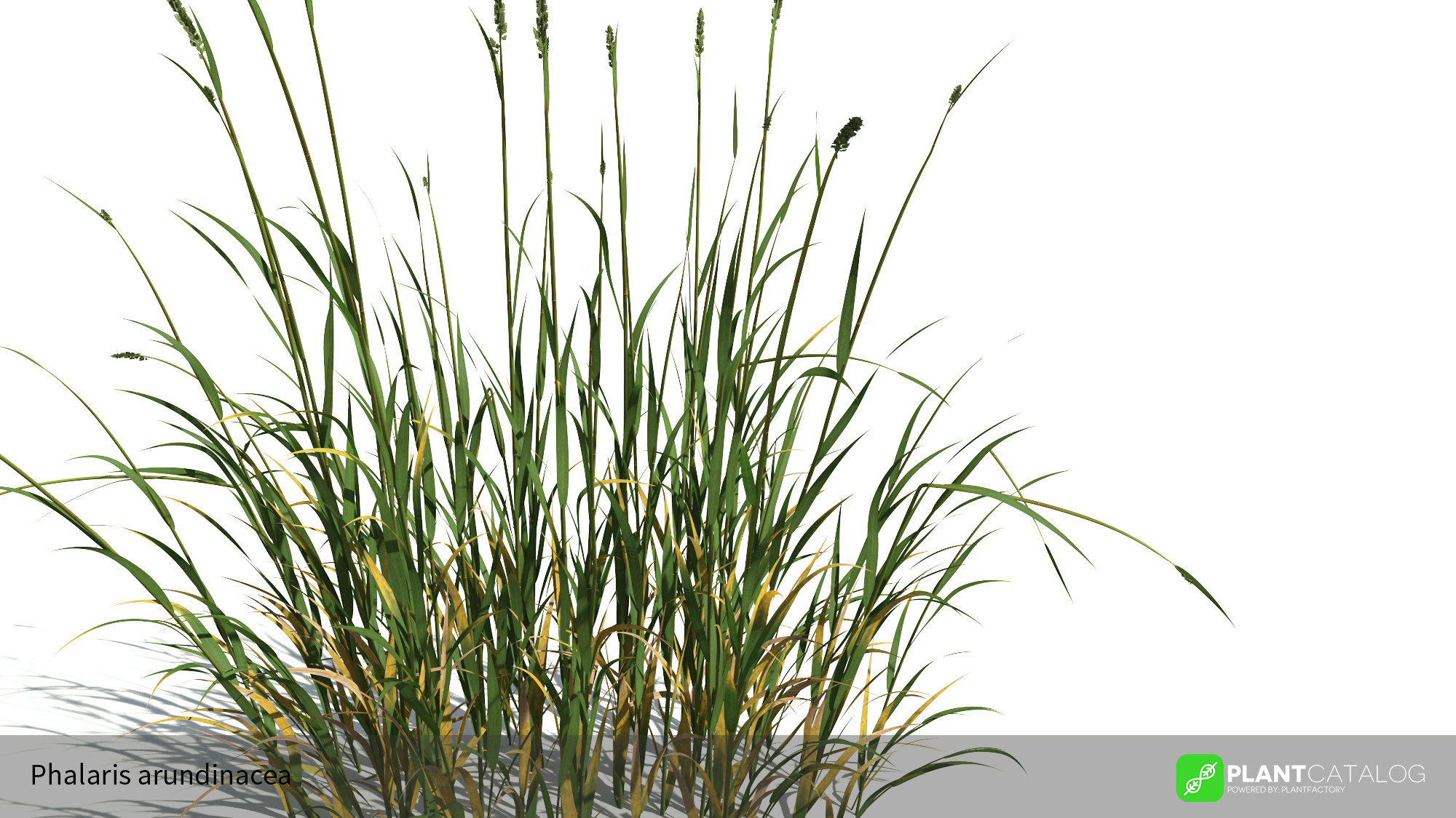 3D model of the Reed canary grass - Phalaris arundinacea - from the PlantCatalog, rendered in VUE