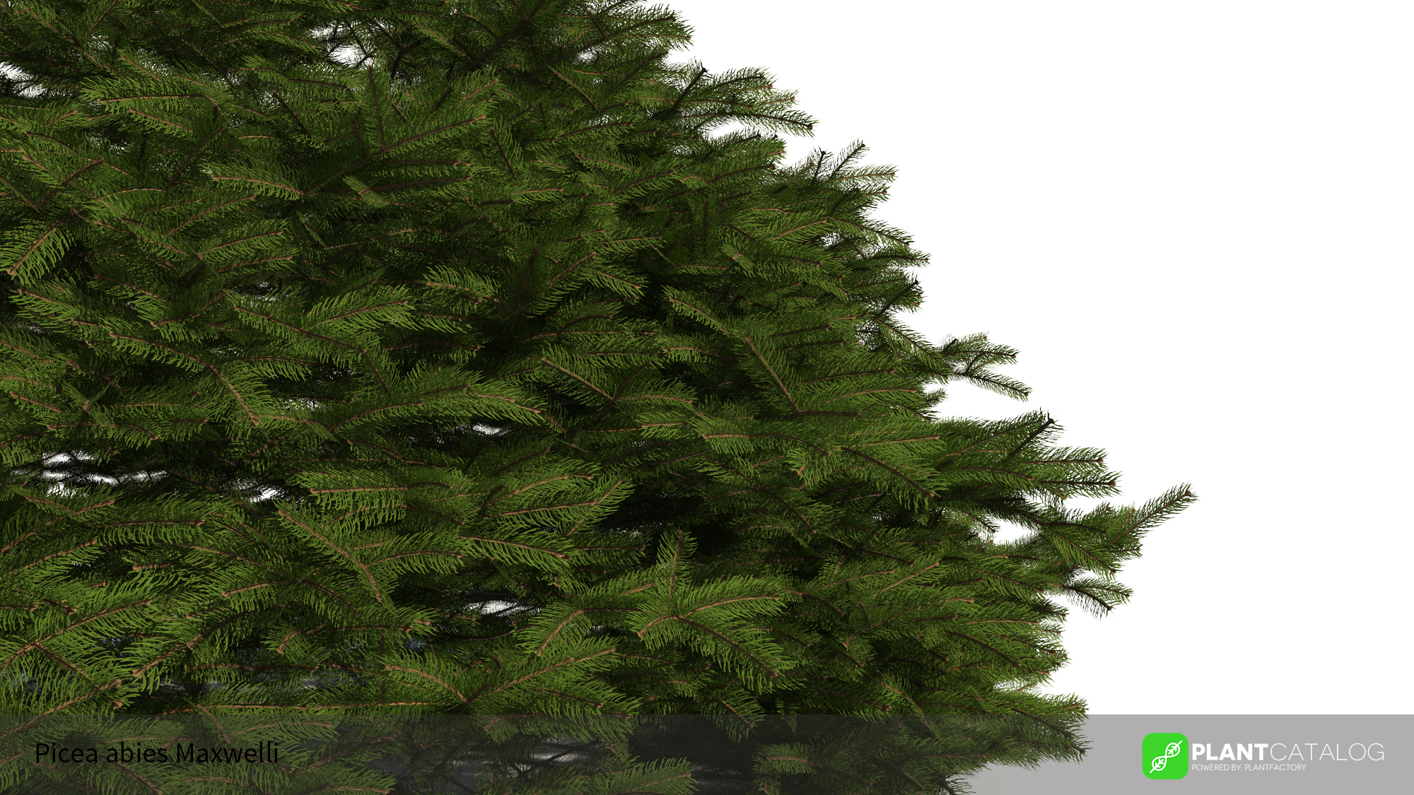 3D model of the Maxwell's Norway spruce - Picea abies 'Maxwellii' - from the PlantCatalog, rendered in VUE