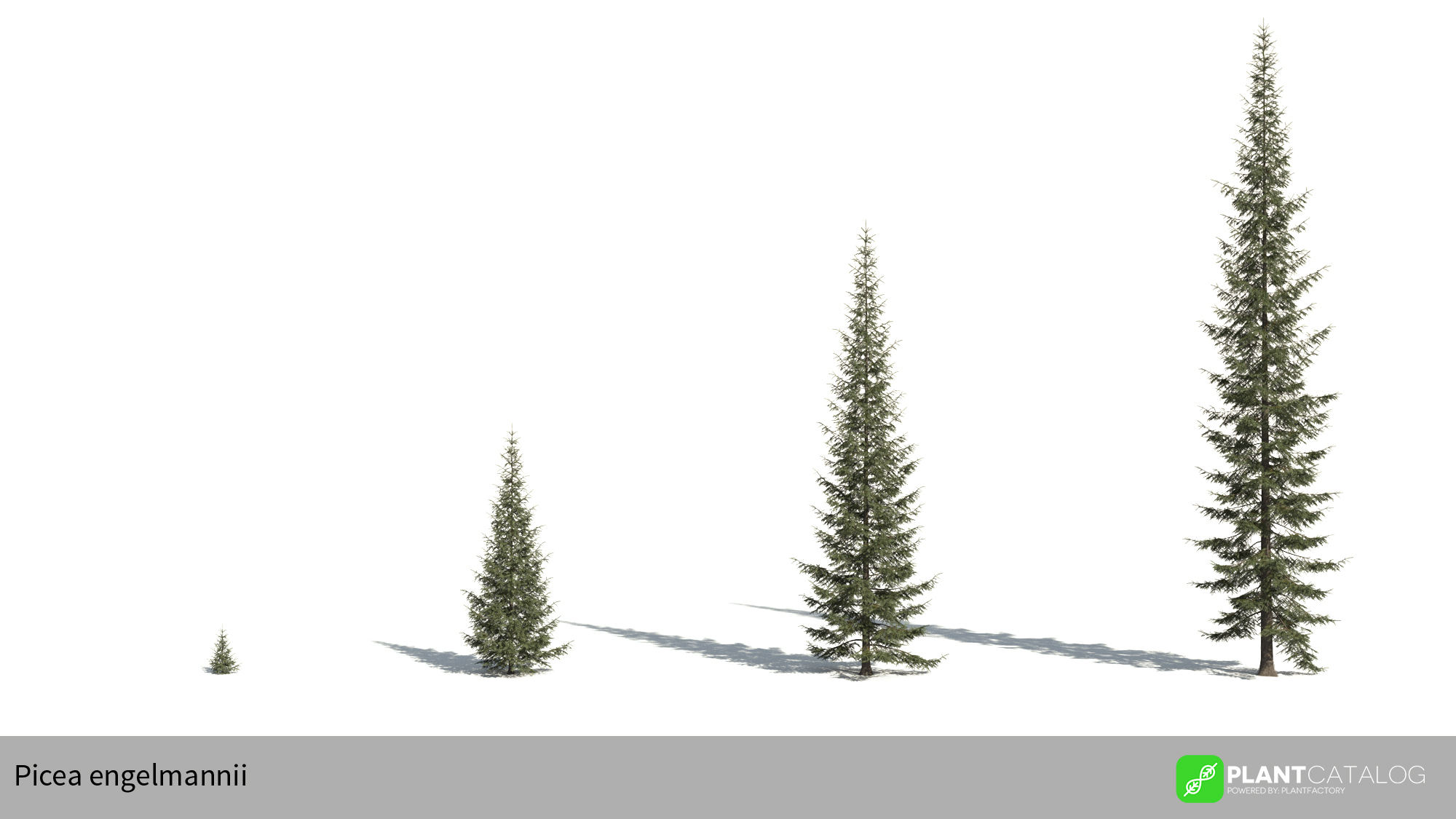 3D model of the Engelmann spruce - Picea engelmannii - from the PlantCatalog, rendered in VUE