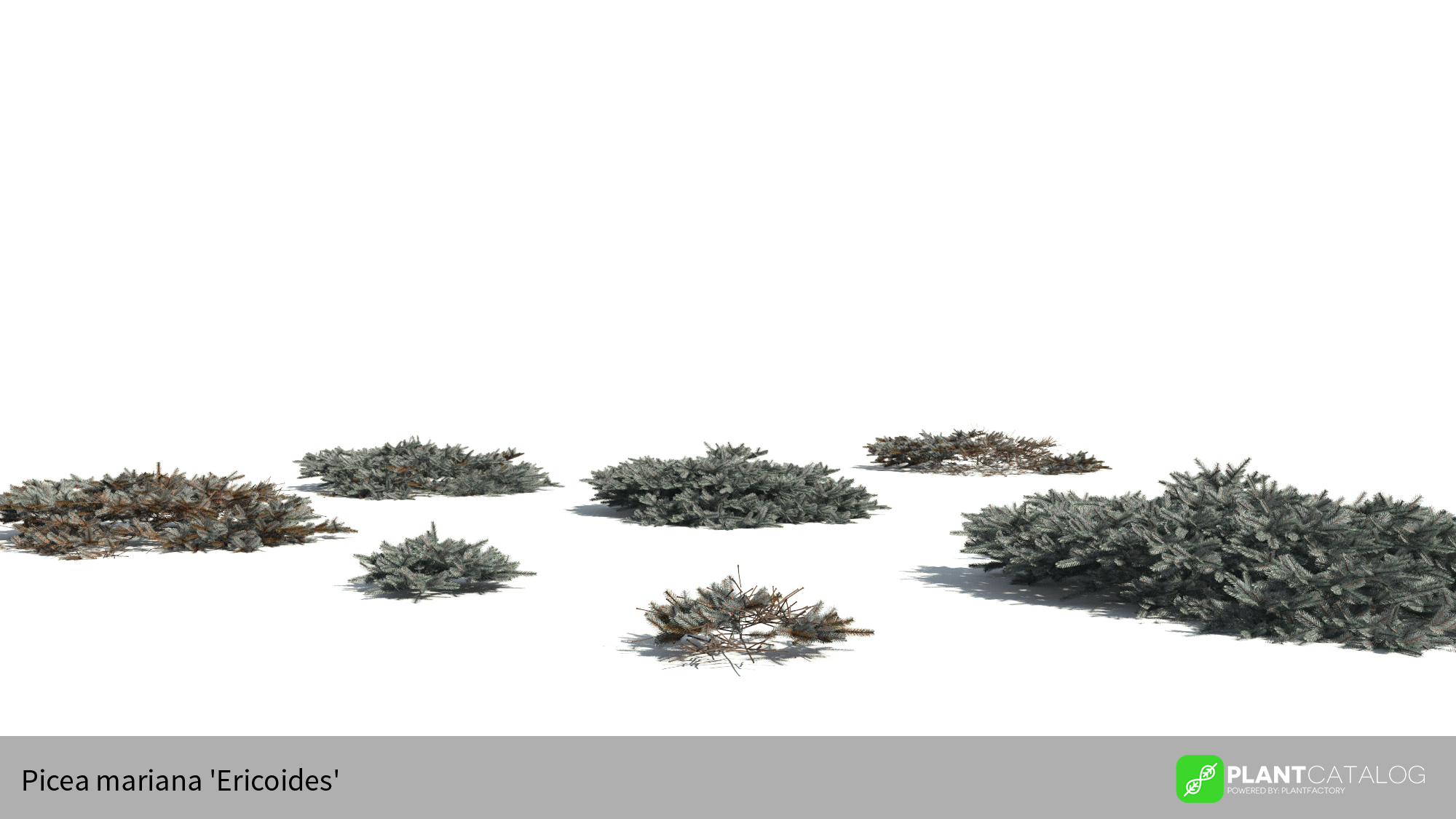 3D model of the Blue Nest spruce - Picea mariana 'Ericoides' - from the PlantCatalog, rendered in VUE