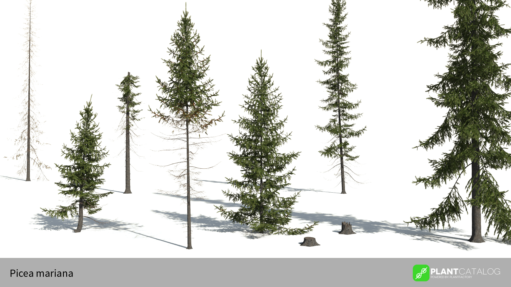 3D model of the Black spruce - Picea mariana - from the PlantCatalog, rendered in VUE