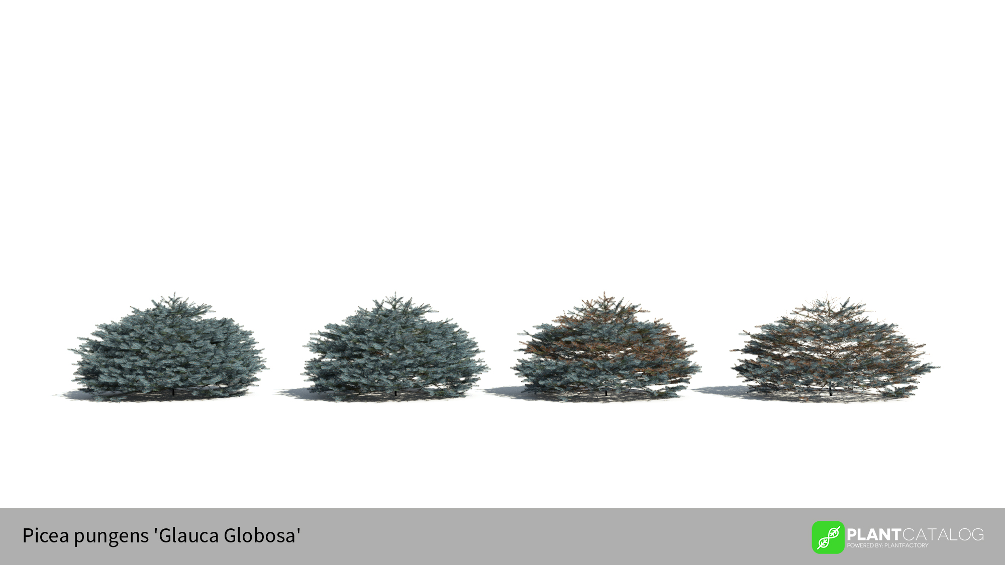 3D model of the Colorado Blue spruce 'Glauca Globosa' - Picea pungens 'Glauca Globosa' - from the PlantCatalog, rendered in VUE