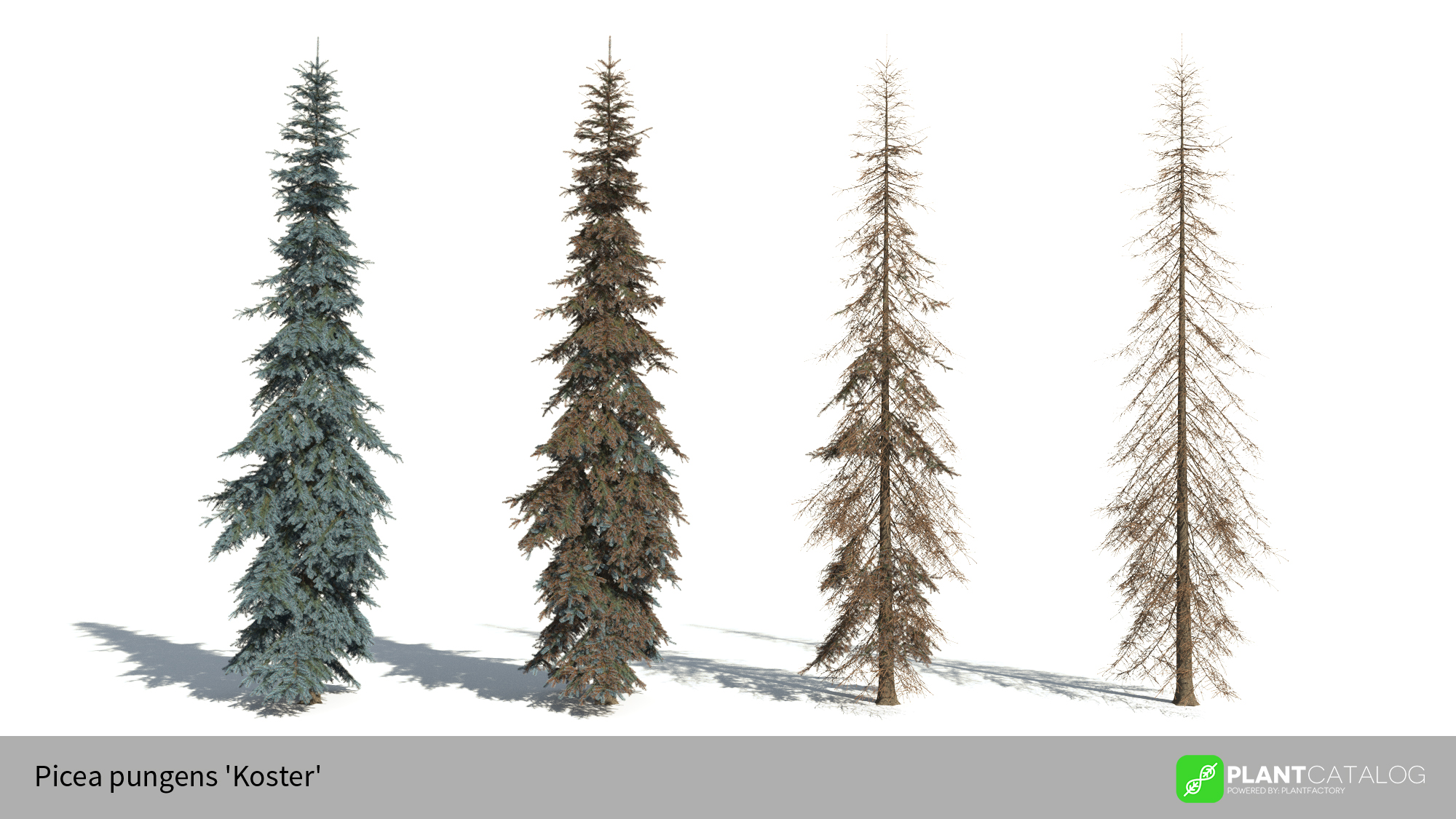 3D model of the Colorado Blue spruce 'Koster' - Picea pungens 'Koster' - from the PlantCatalog, rendered in VUE