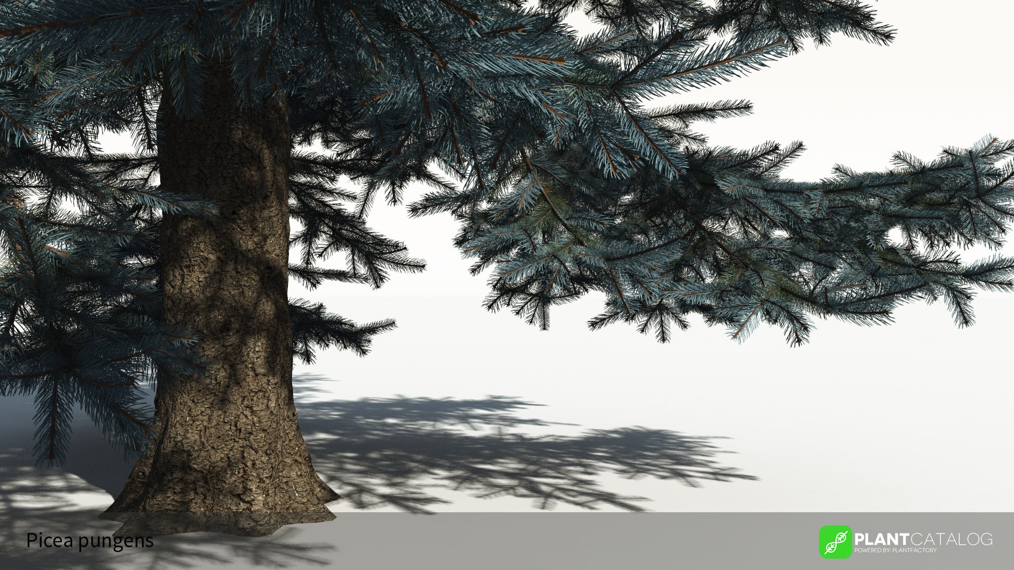3D model of the Colorado Blue spruce - Picea pungens - from the PlantCatalog, rendered in VUE