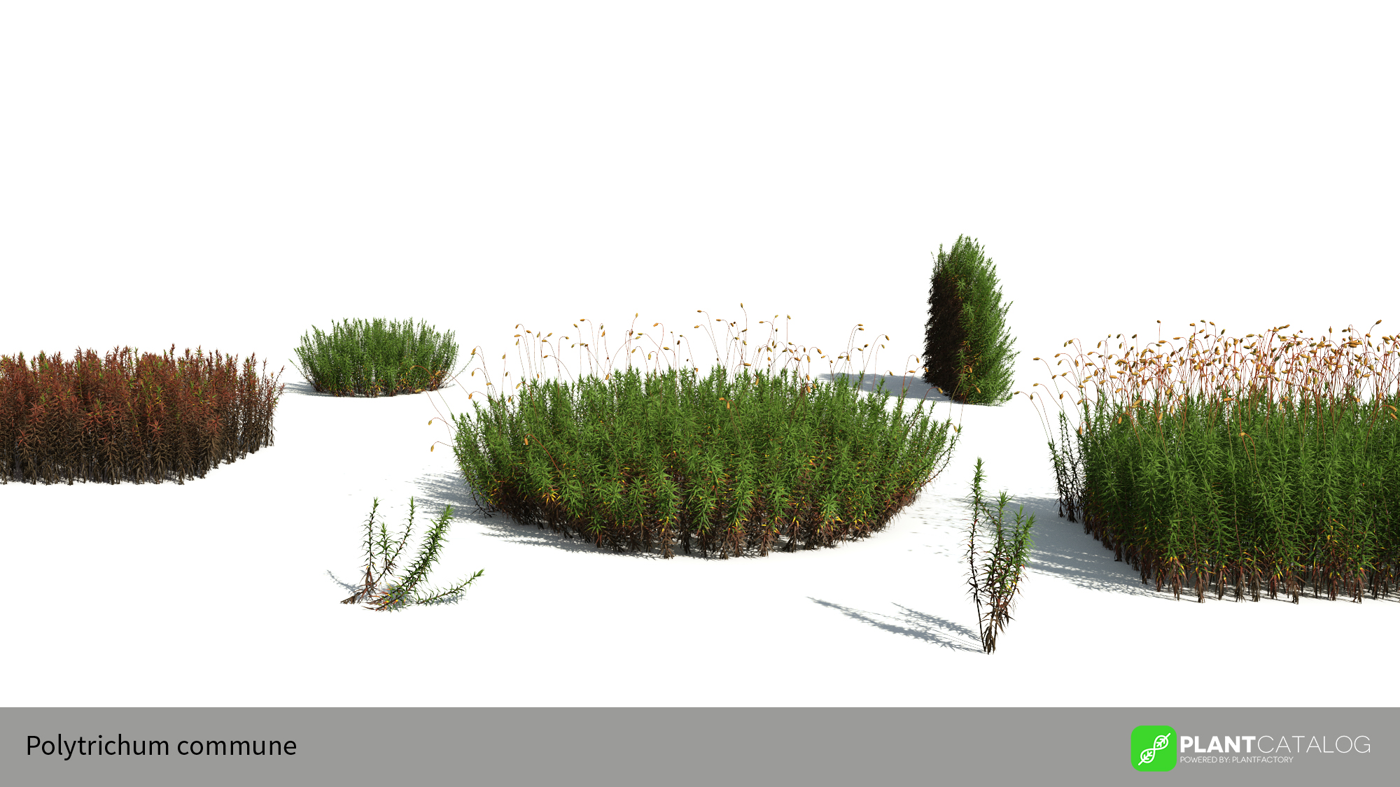 Polytrichum_com3D model of the Common haircap moss - Polytrichum commune - from the PlantCatalog, rendered in VUEmune_presentation