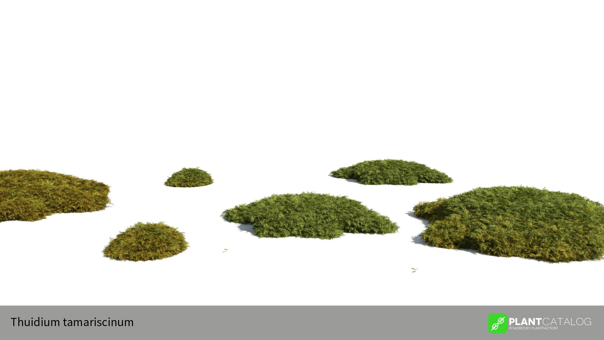 3D model of the Tamarisk moss - Thuidium tamariscinum - from the PlantCatalog, rendered in VUE