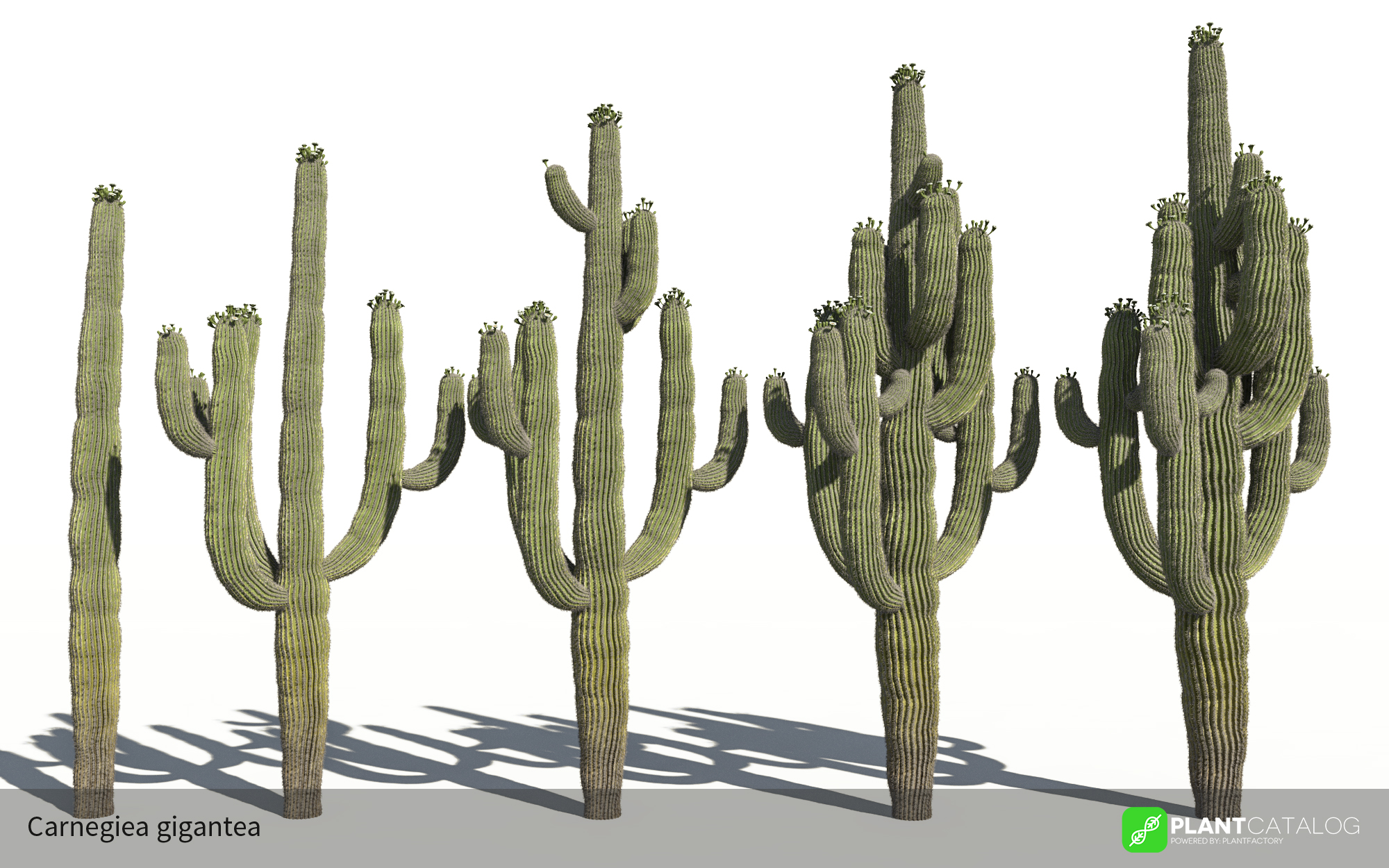 3D model of the Saguaro cactus - Carnegiea gigantea - from the PlantCatalog, rendered in VUE