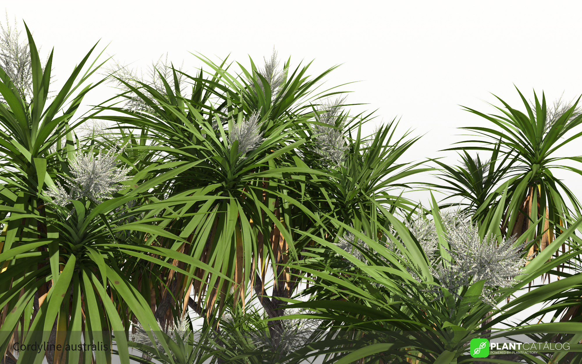 3D model of the Cabbage tree - Cordyline australis - from the PlantCatalog, rendered in VUE