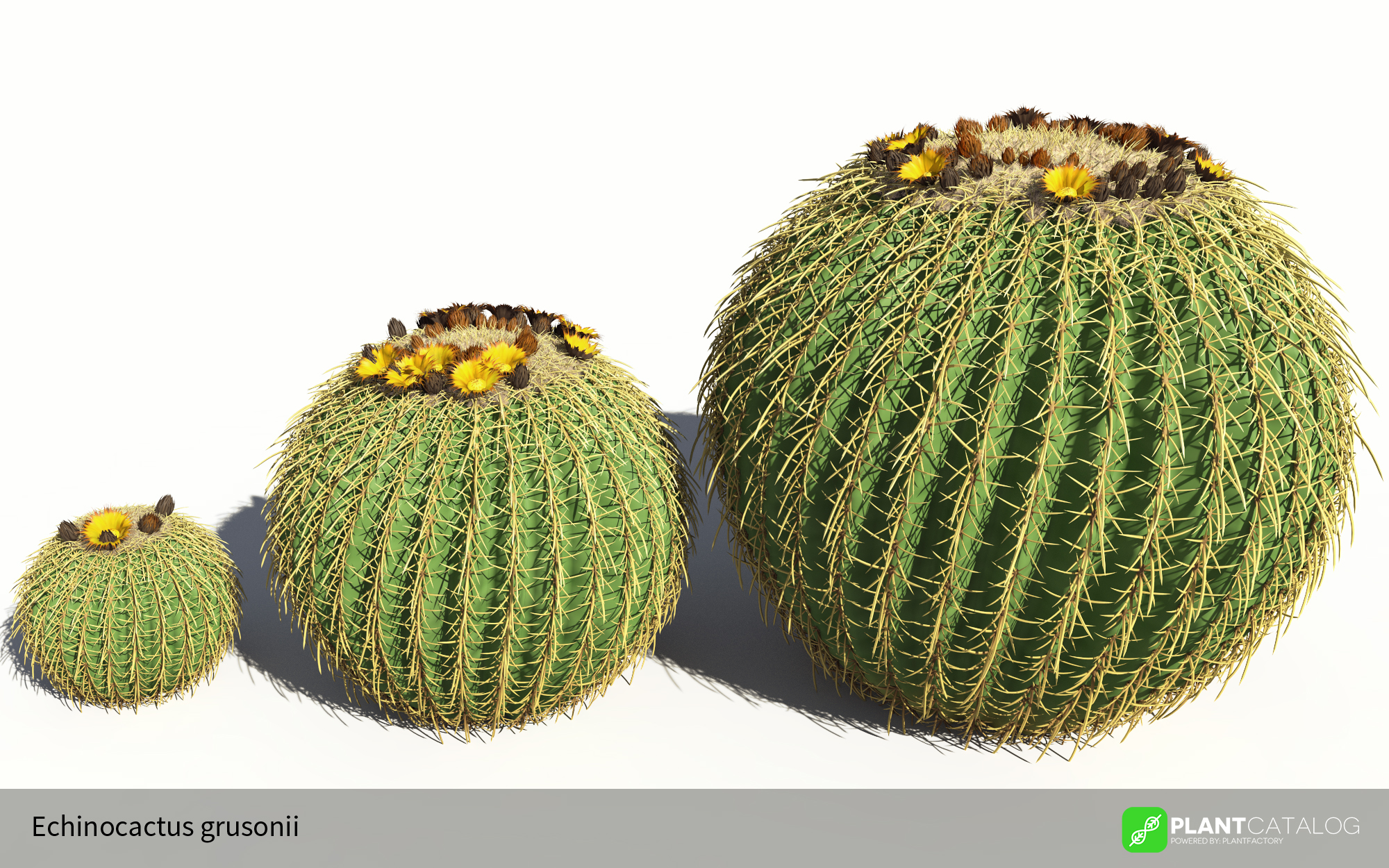 3D model of the Golden barral cactus - Echinocactus grusonii - from the PlantCatalog, rendered in VUE