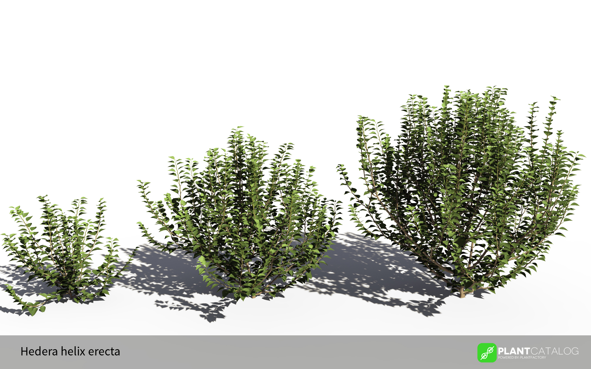 3D model of the Green ivy bushy - Hedera helix 'Erecta' - from the PlantCatalog, rendered in VUE