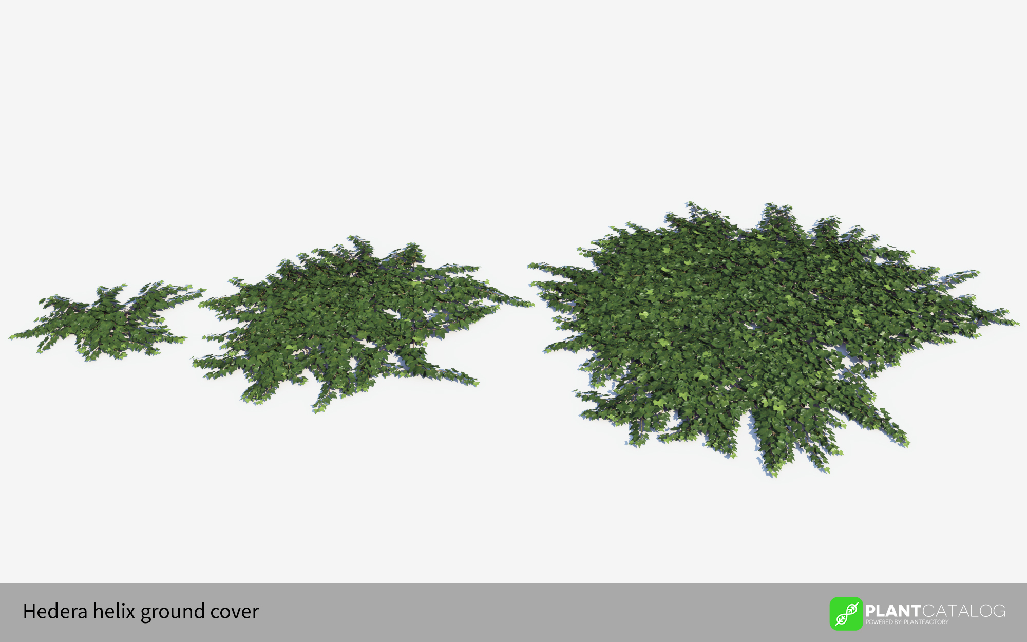 3D model of the Green ivy ground cover - Hedera helix ground cover green - from the PlantCatalog, rendered in VUE