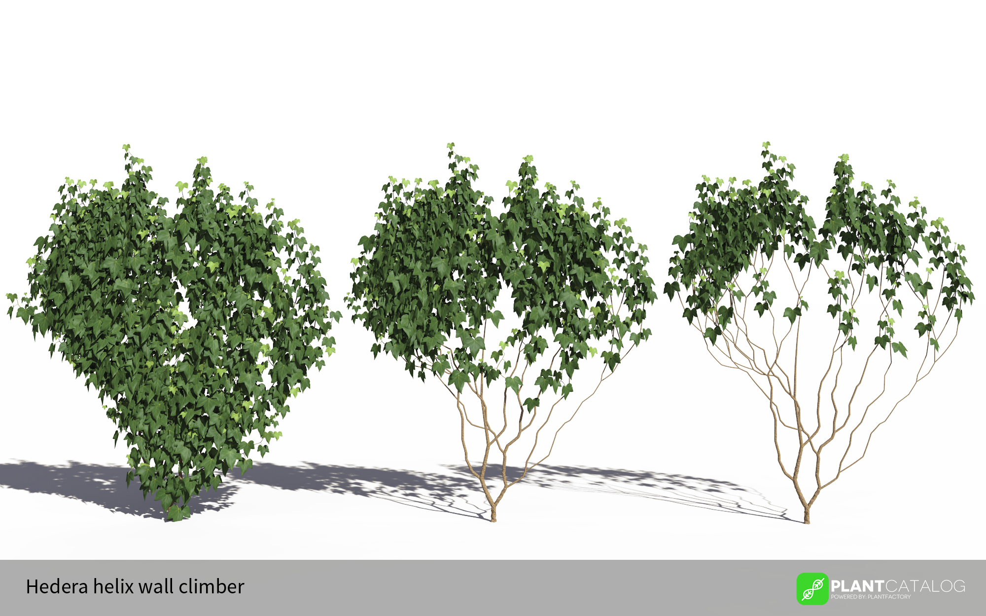 3D model of the Green ivy wall climber - Hedera helix wall climber green - from the PlantCatalog, rendered in VUE
