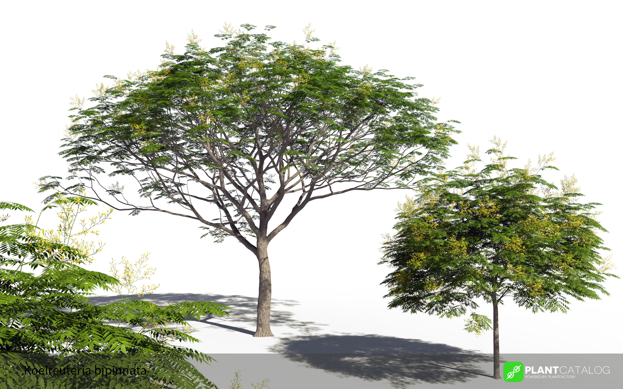 3D model of the Chinese flame tree - Koelreuteria bipinnata - from the PlantCatalog, rendered in VUE