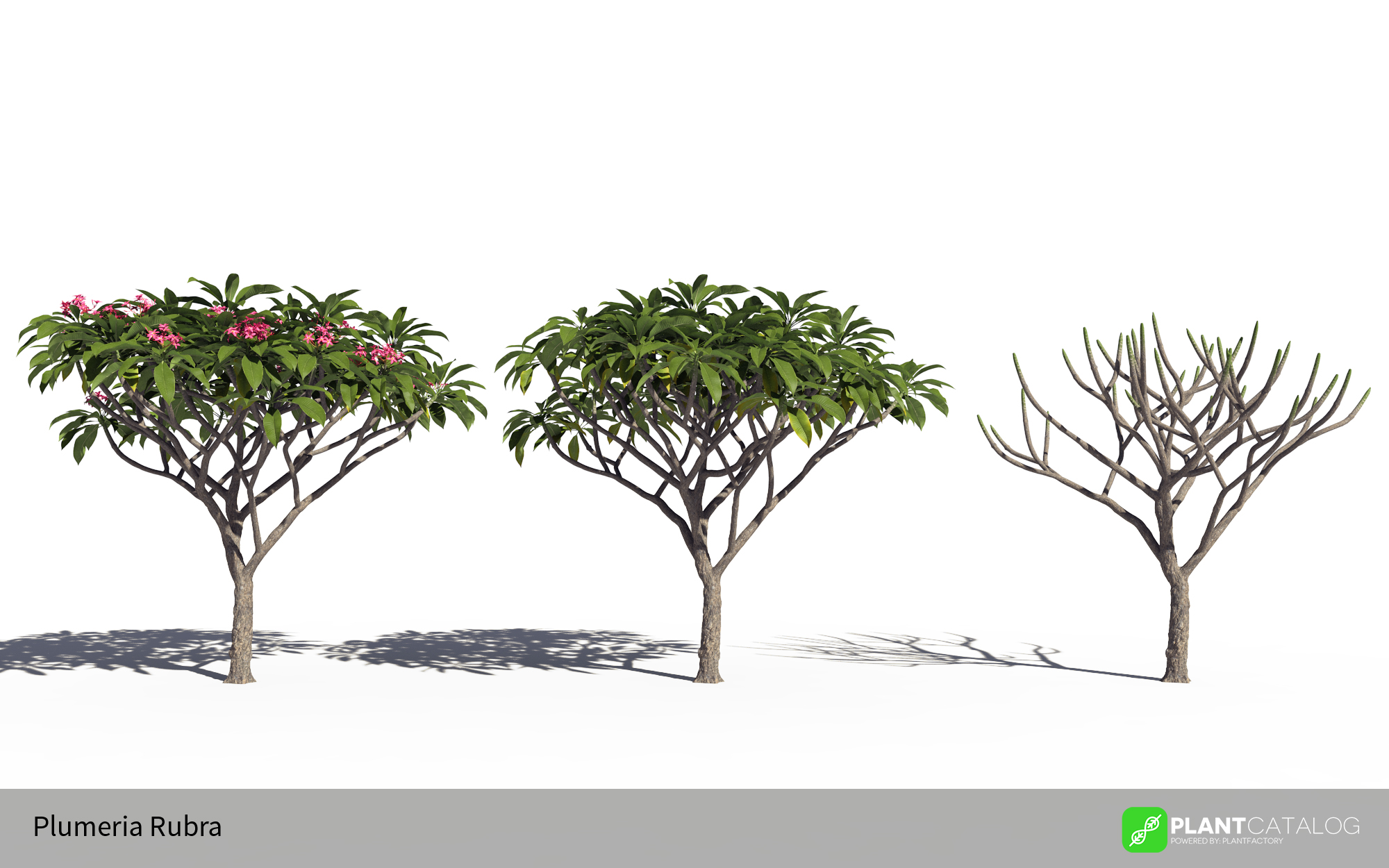 3D model of the Frangipani tree - Plumeria rubra pink - from the PlantCatalog, rendered in VUE