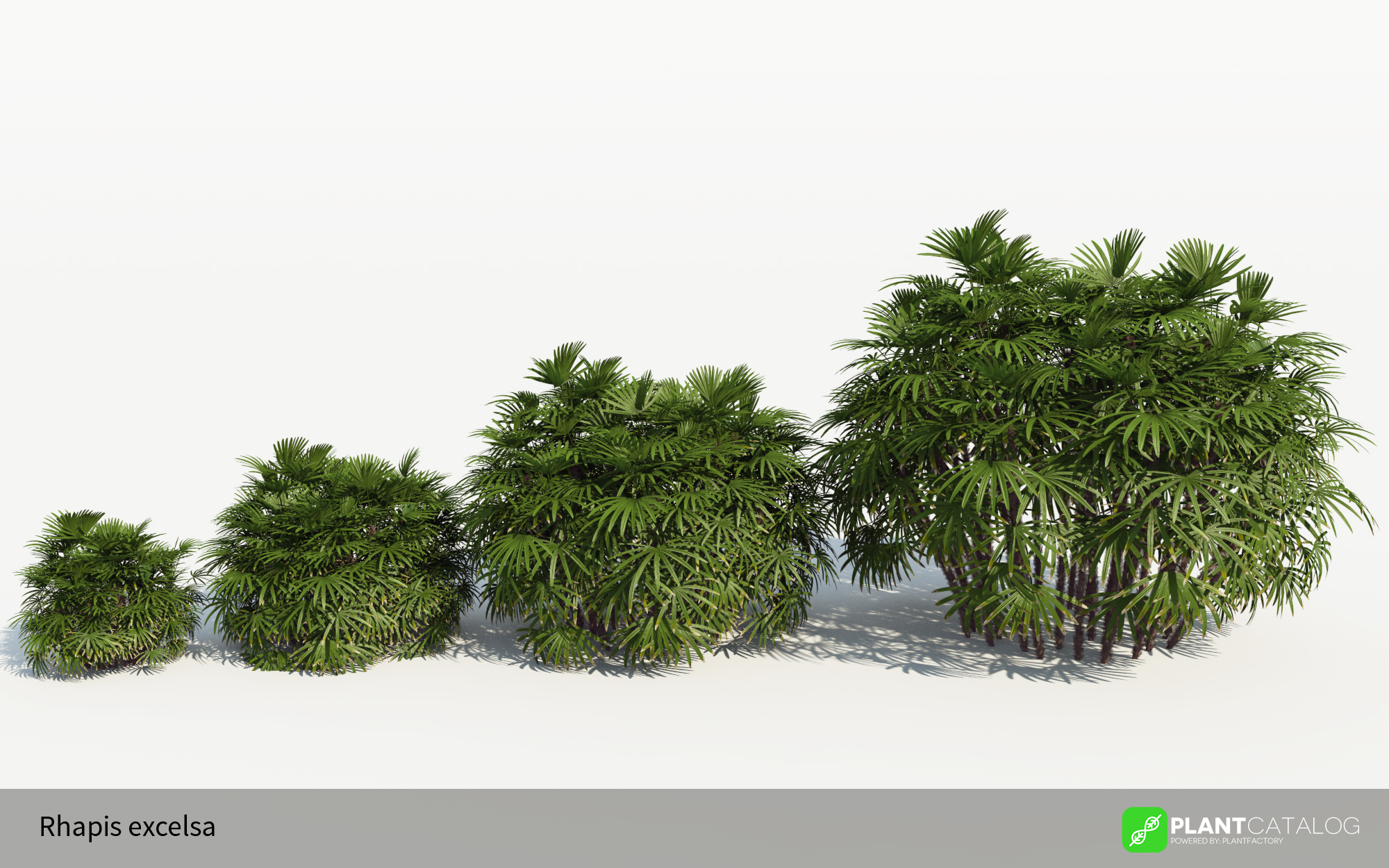 3D model of the Bamboo palm - Rhapis excelsa - from the PlantCatalog, rendered in VUE