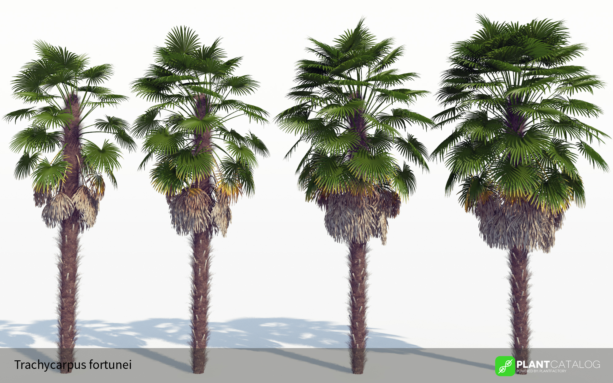 3D model of the Windmill palm - Trachycarpus fortunei - from the PlantCatalog, rendered in VUE