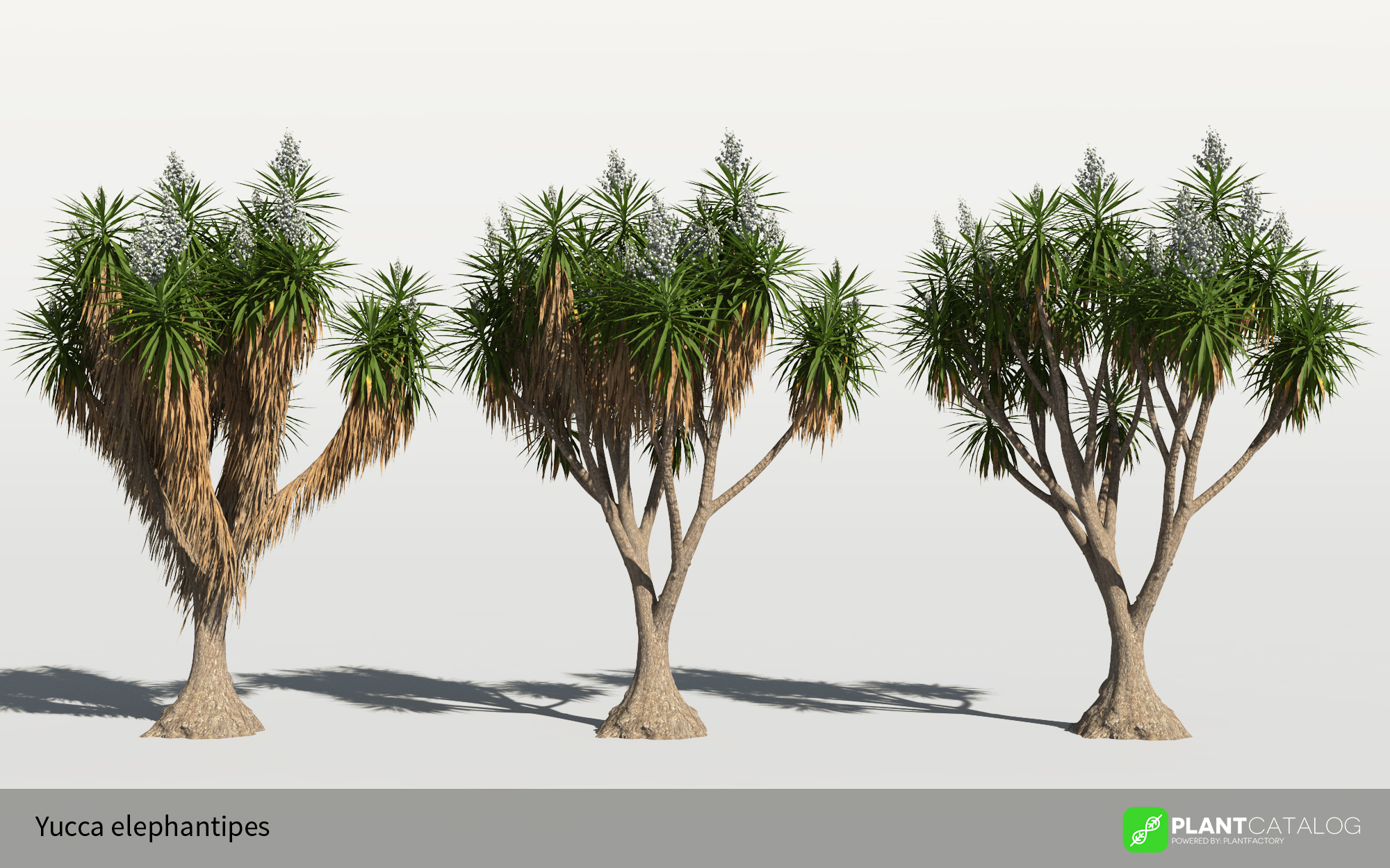 3D model of the Spineless yucca - Yucca elephantipes - from the PlantCatalog, rendered in VUE