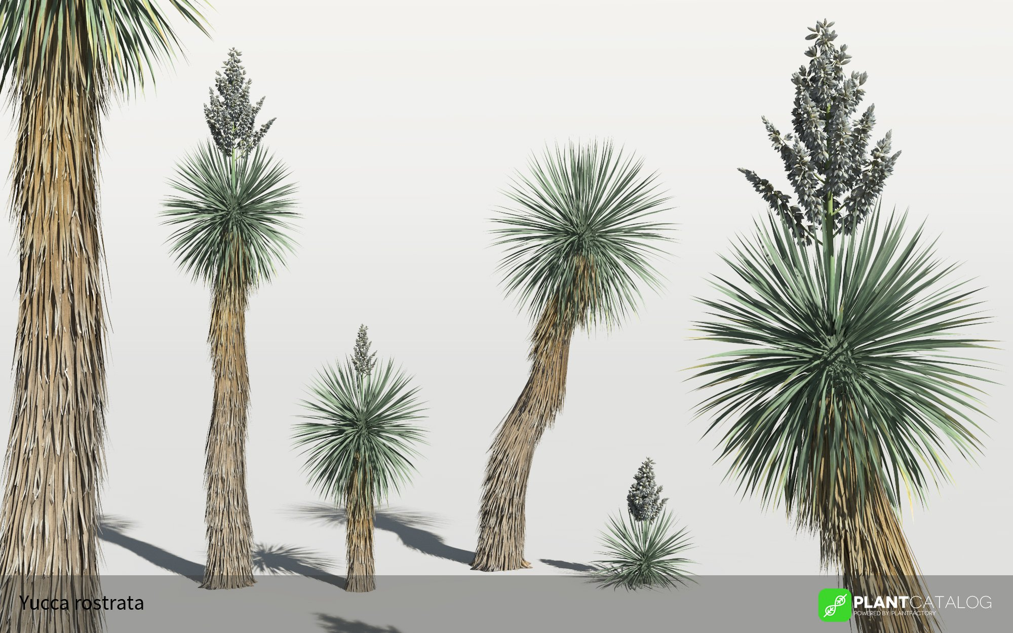 3D model of the Beaked yucca - Yucca rostrata - from the PlantCatalog, rendered in VUE