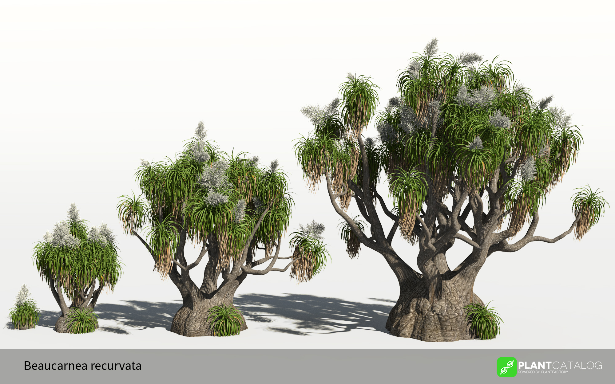 3D model of the Elephant Foot - Beaucarnea recurvata - from the PlantCatalog, rendered in VUE