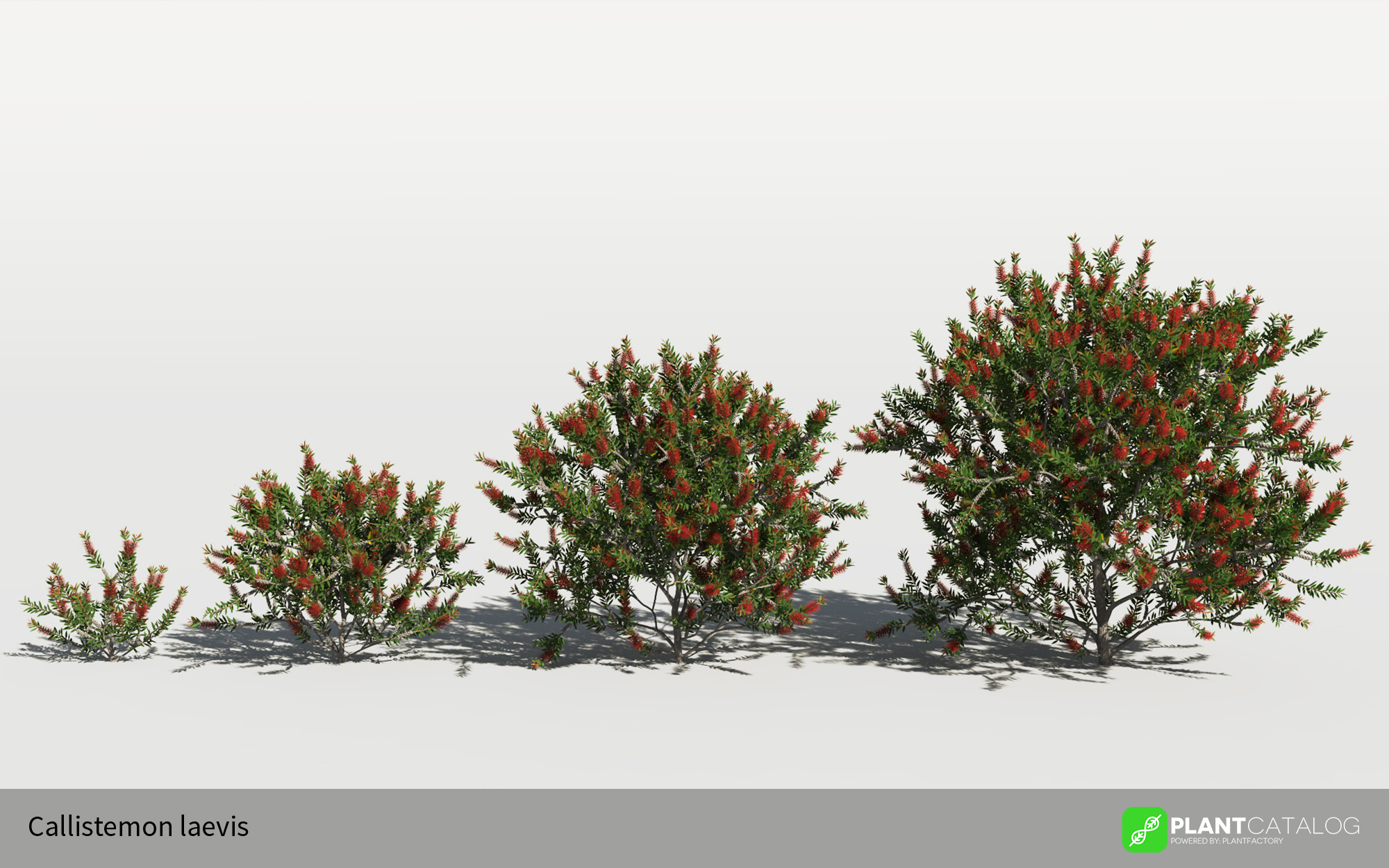 3D model of the Bottlebrush - Callistemon laevis - from the PlantCatalog, rendered in VUE