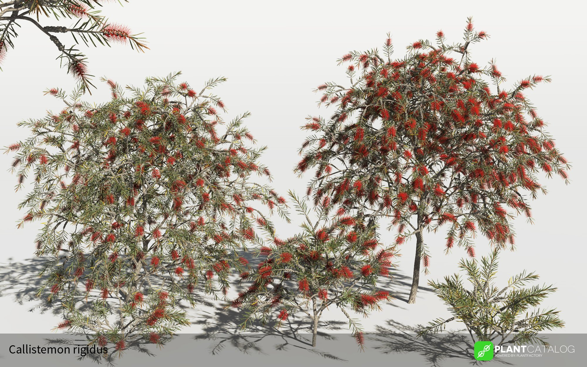 3D model of the Bottlebrush - Callistemon rigidus - from the PlantCatalog, rendered in VUE