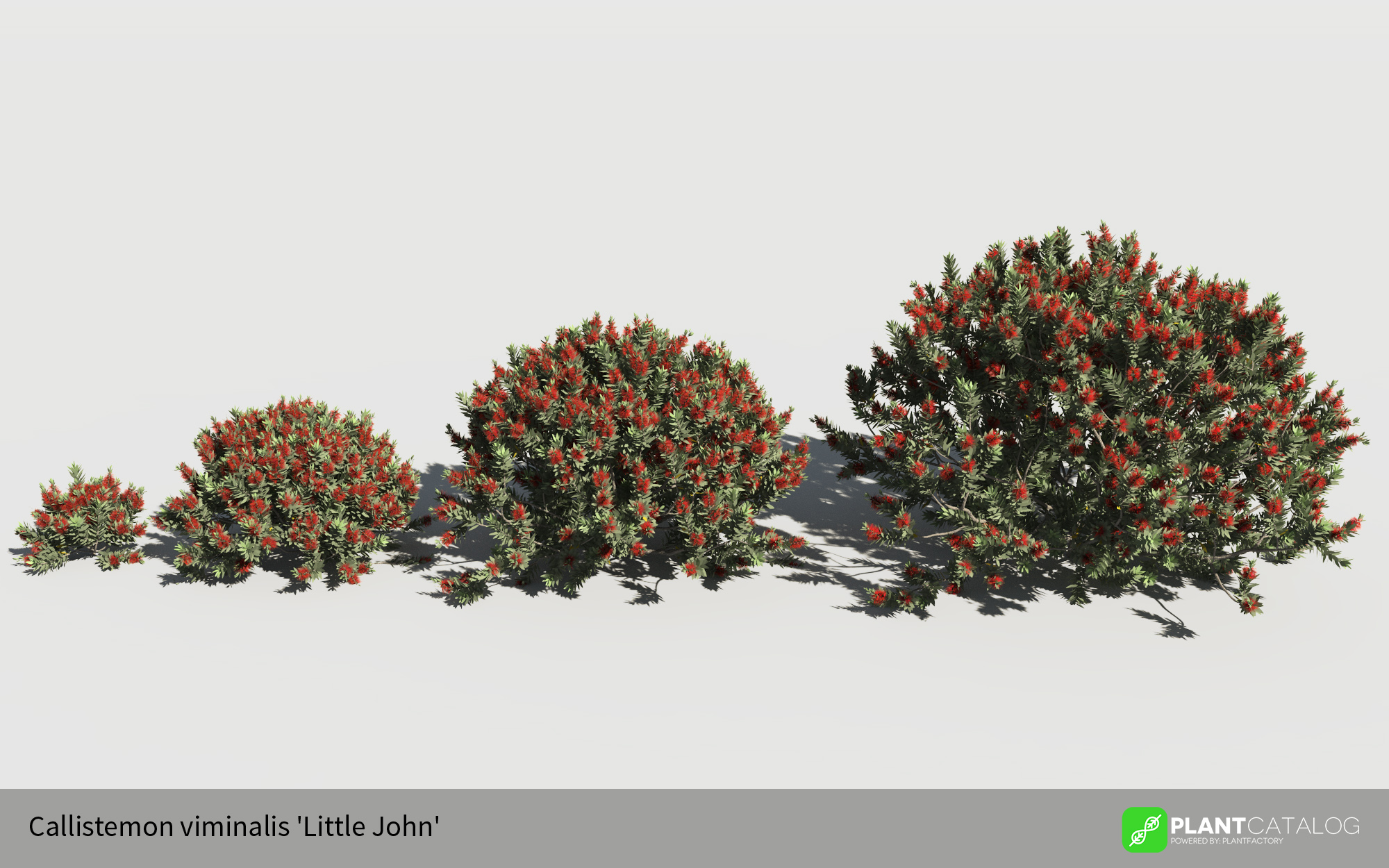 3D model of the Dwarf bottlebrush - Callistemon viminalis 'Little John' - from the PlantCatalog, rendered in VUE