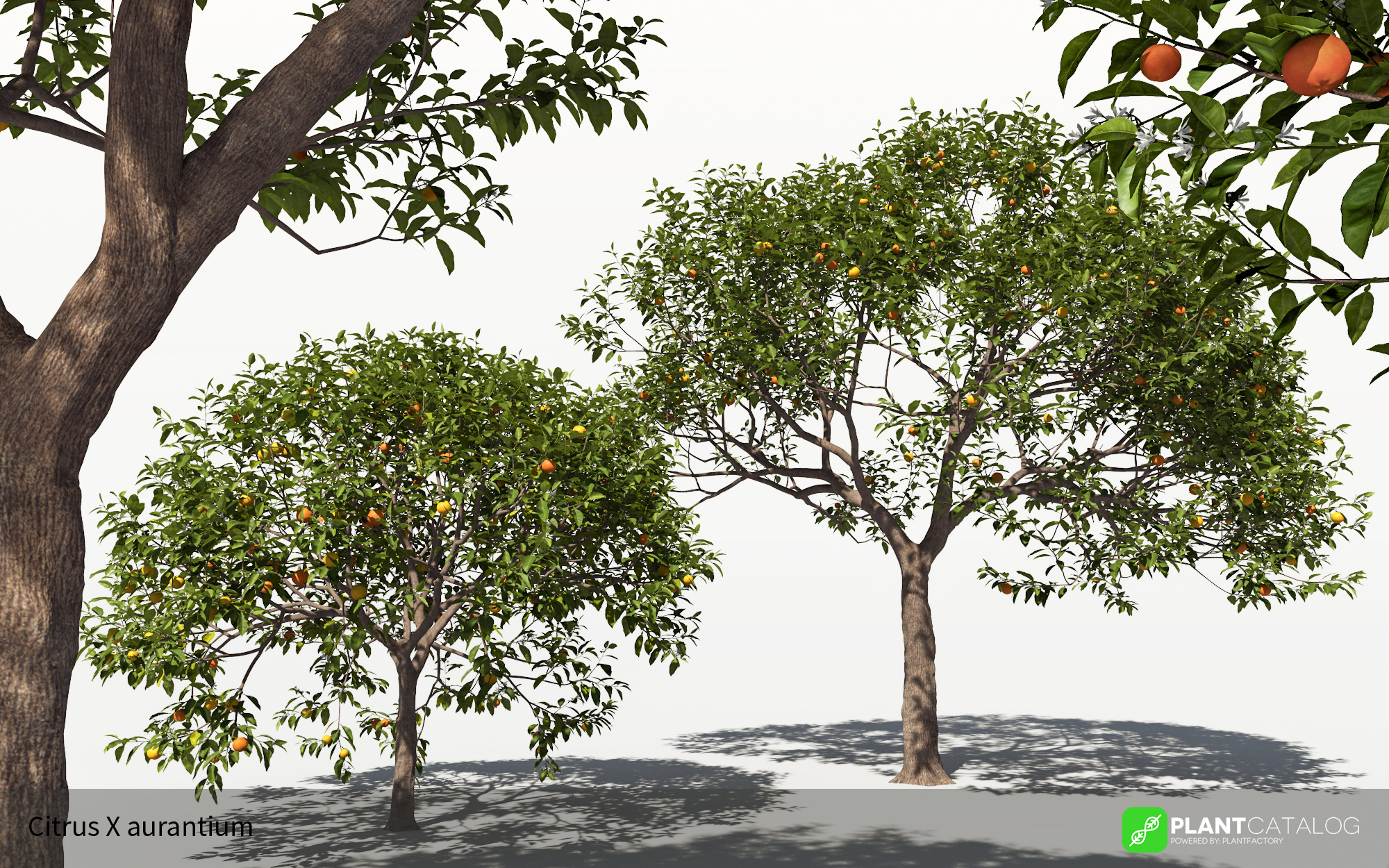 3D model of the Sour orange - Citrus x aurantium - from the PlantCatalog, rendered in VUE