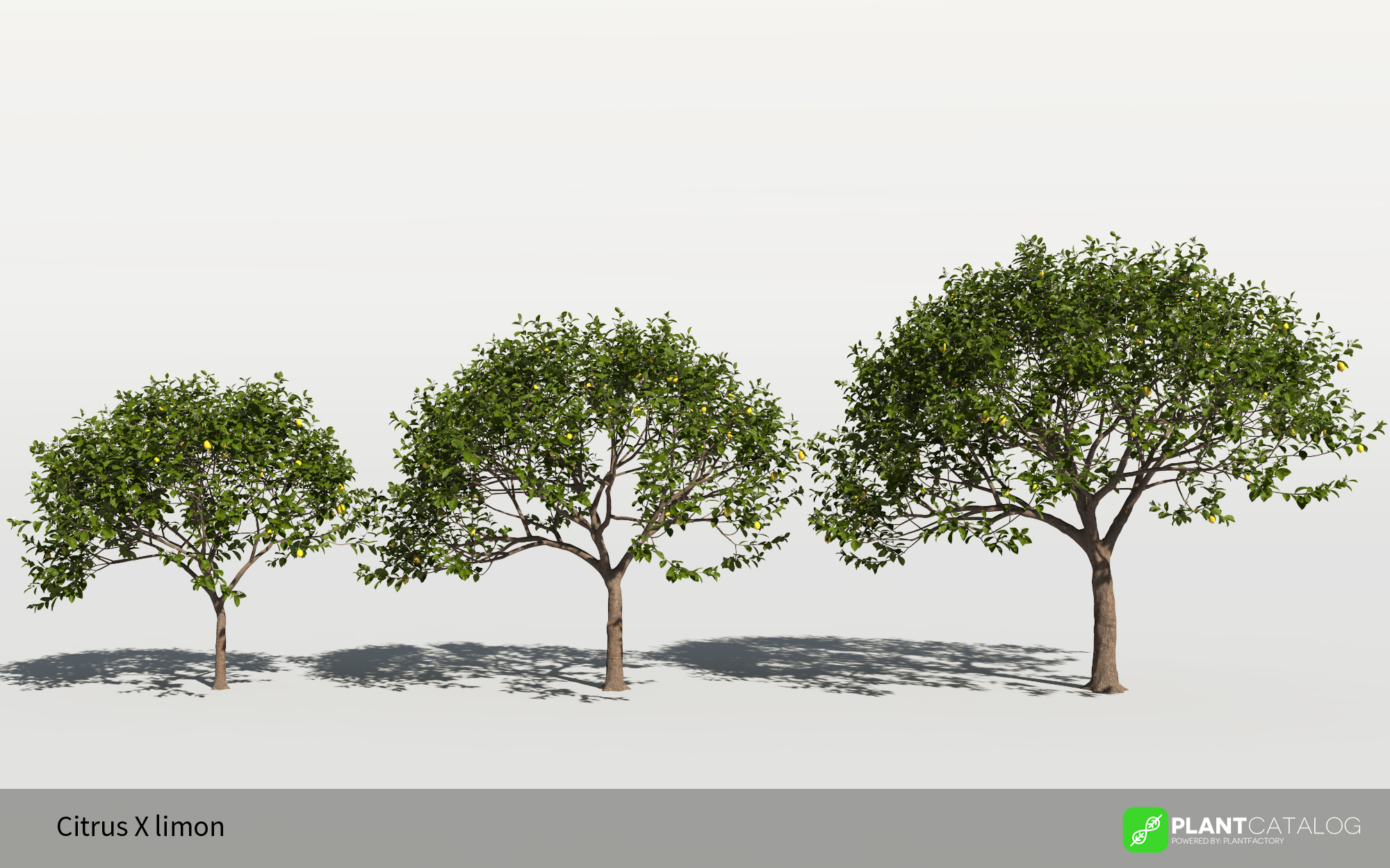 3D model of the Lemon tree - Citrus x limon - from the PlantCatalog, rendered in VUE