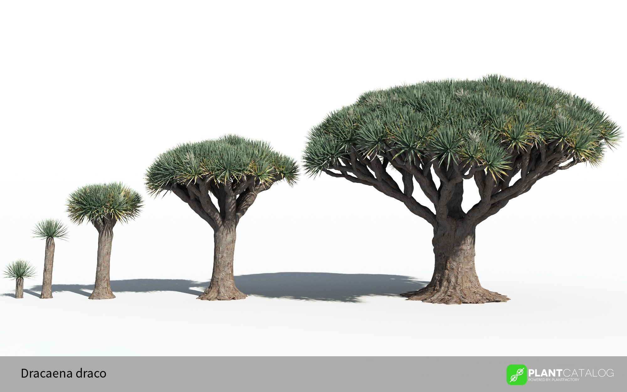 3D model of the Dragon tree - Dracaena draco - from the PlantCatalog, rendered in VUE