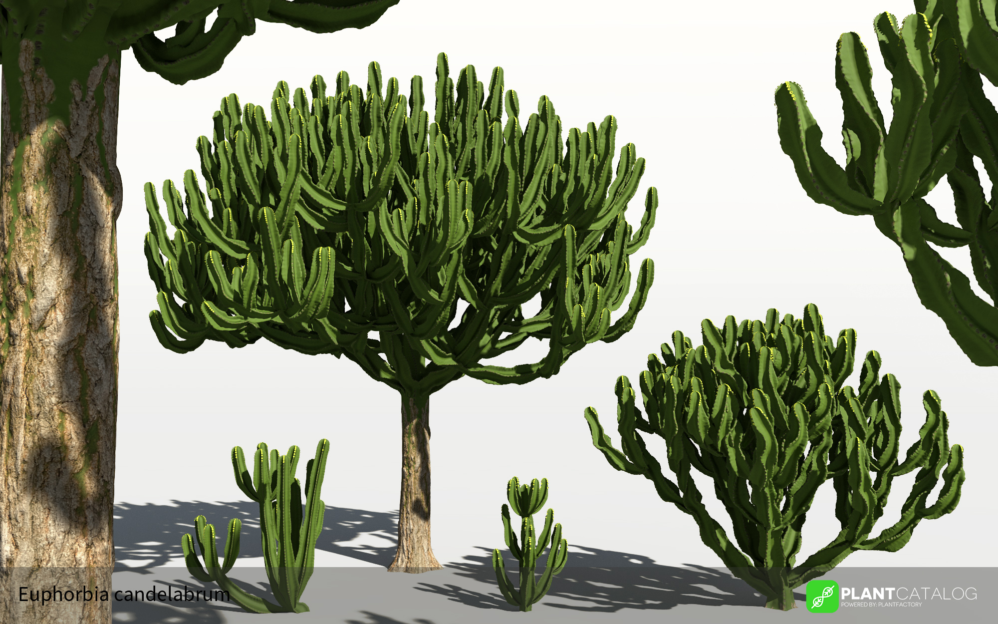 3D model of the Candelabra tree - Euphorbia candelabrum - from the PlantCatalog, rendered in VUE