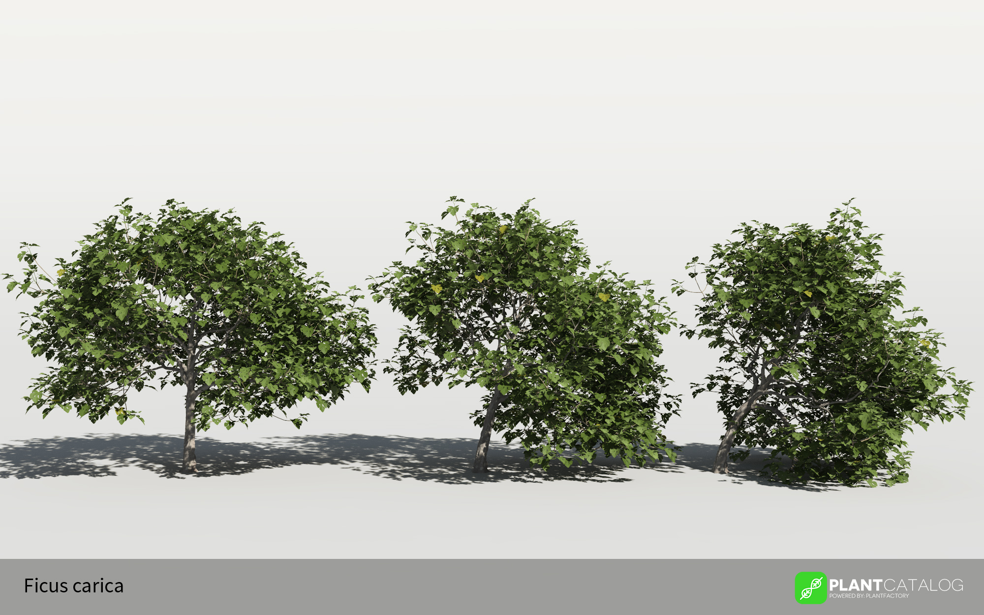 3D model of the Common fig tree - Ficus carica - from the PlantCatalog, rendered in VUE
