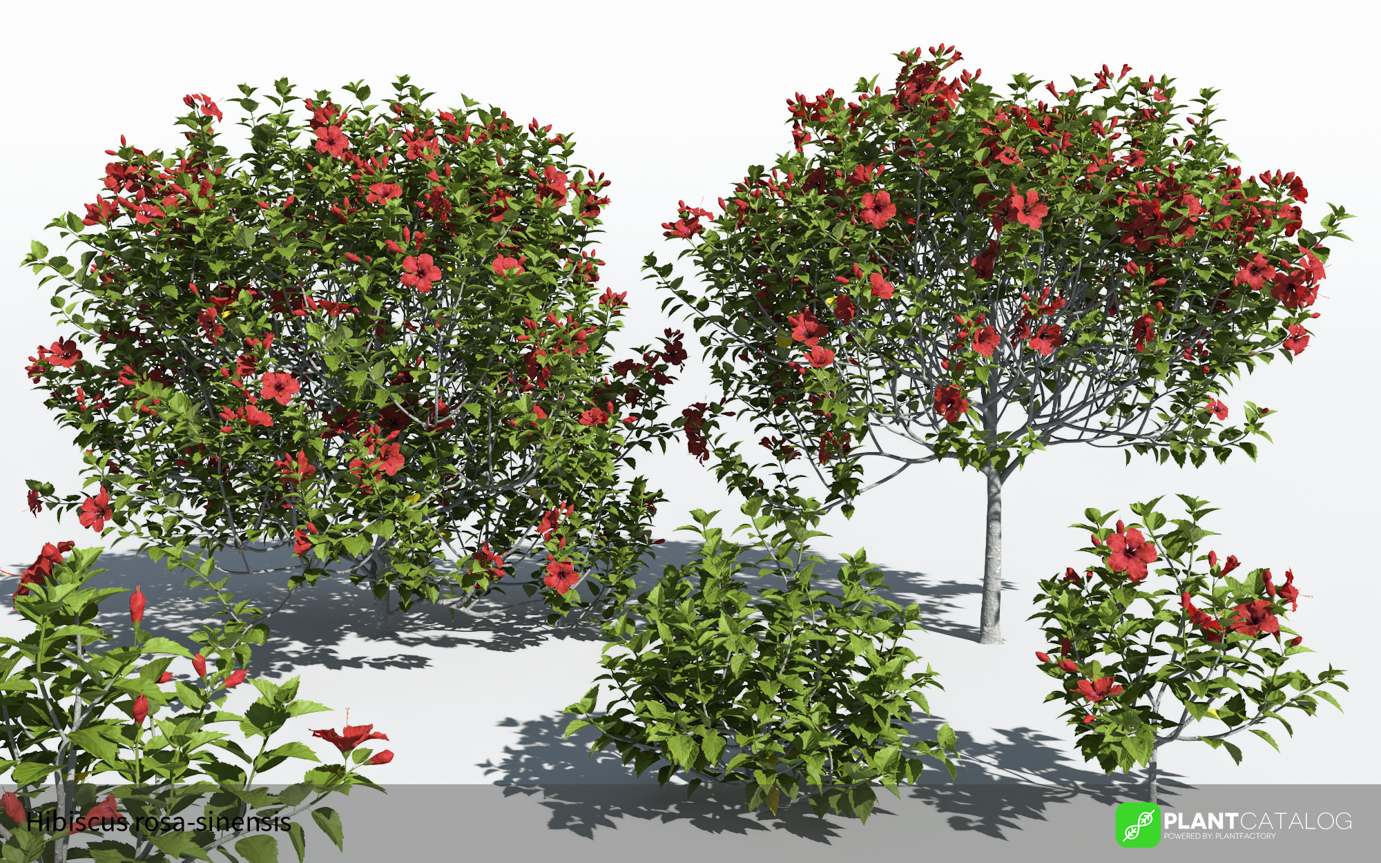 3D model of the Chinese hibiscus - Hibiscus rosa-sinensis - from the PlantCatalog, rendered in VUE